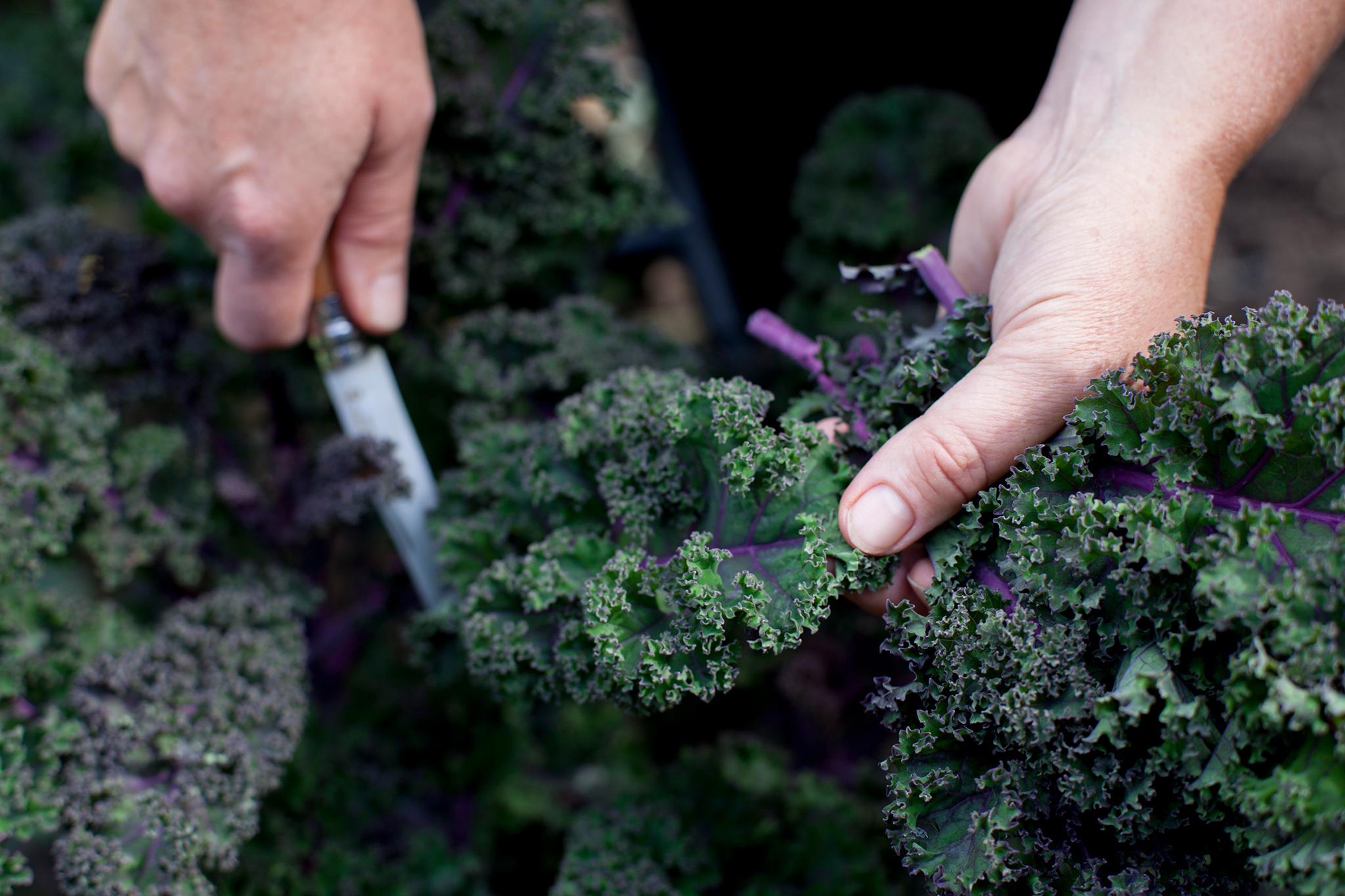 harvesting-kale-leaves-2