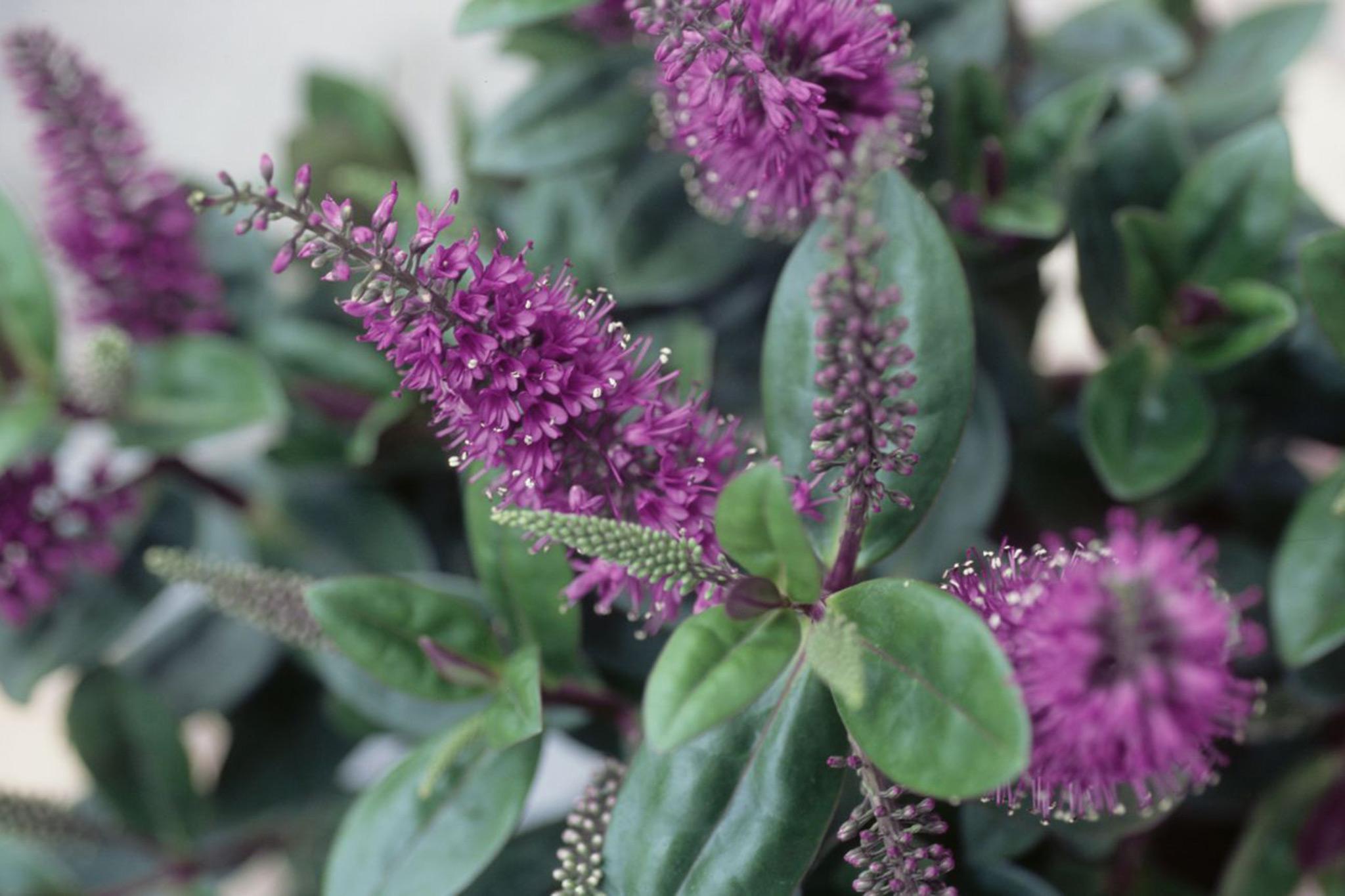 hebe-flowers-2