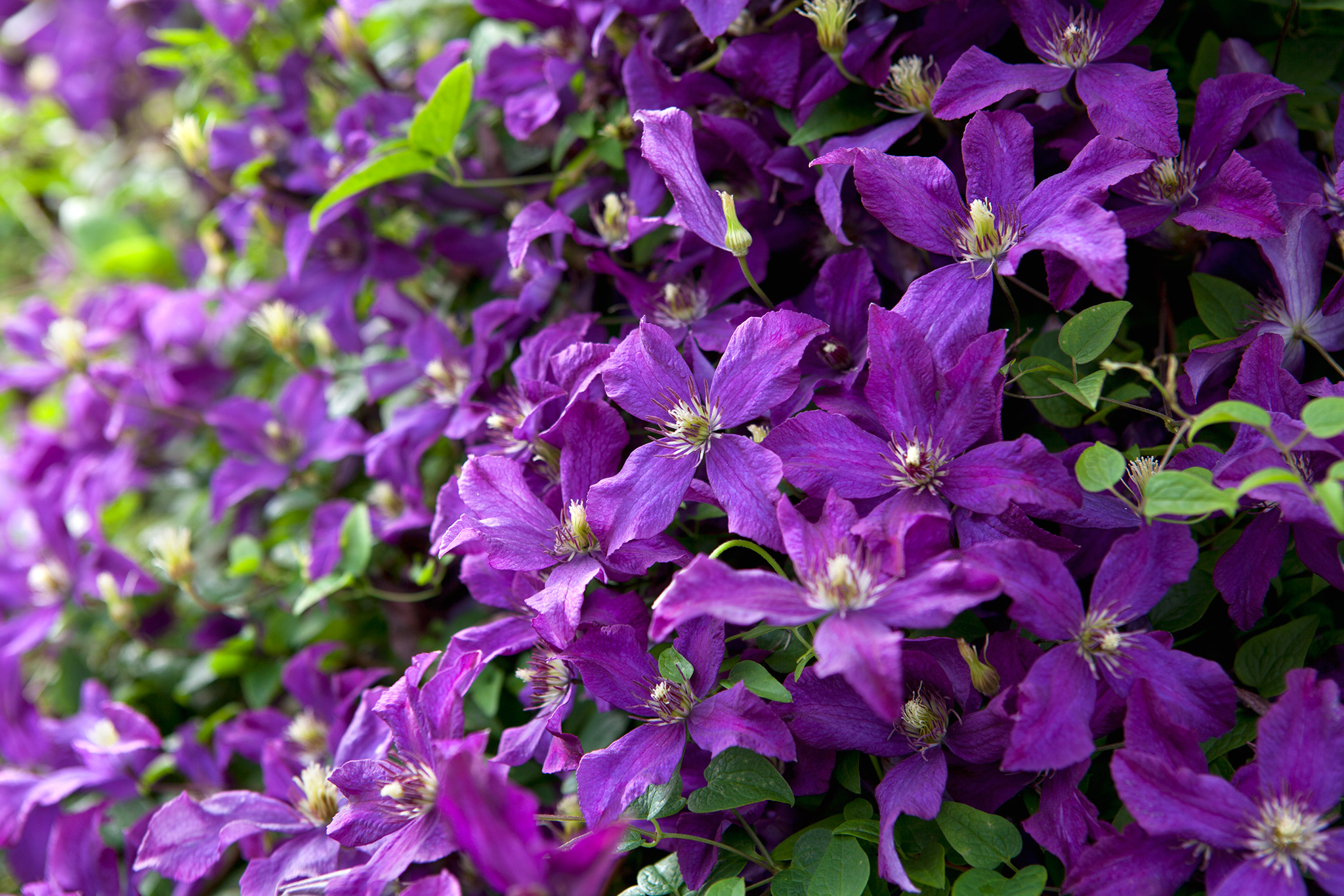 Clematis 'Polish Spirit'