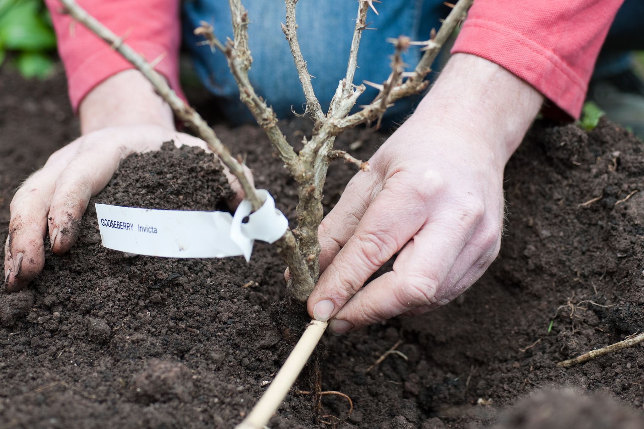 Размножение молодил, посадка и уход - Вегетативное 57