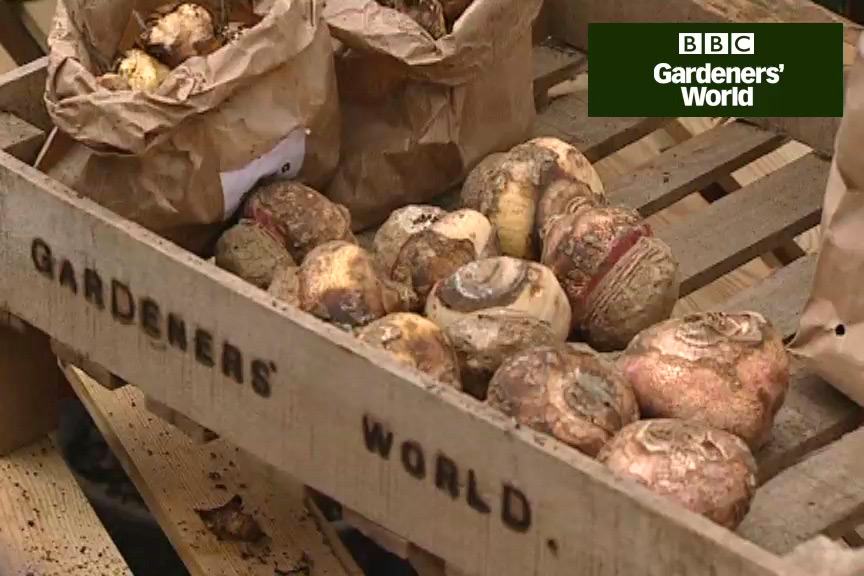 How to plant summer bulbs in pots video