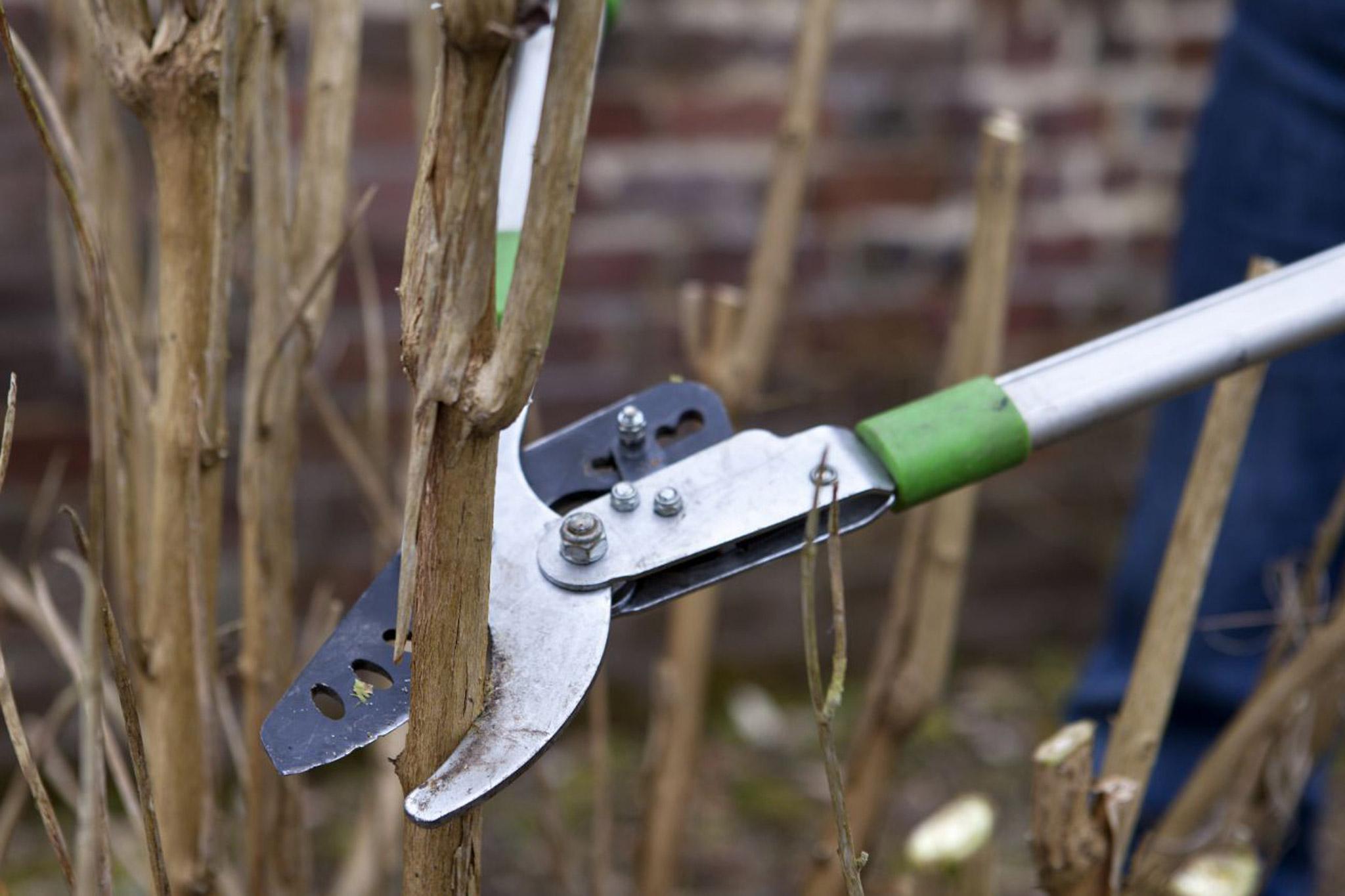 Winter pruning buddleia