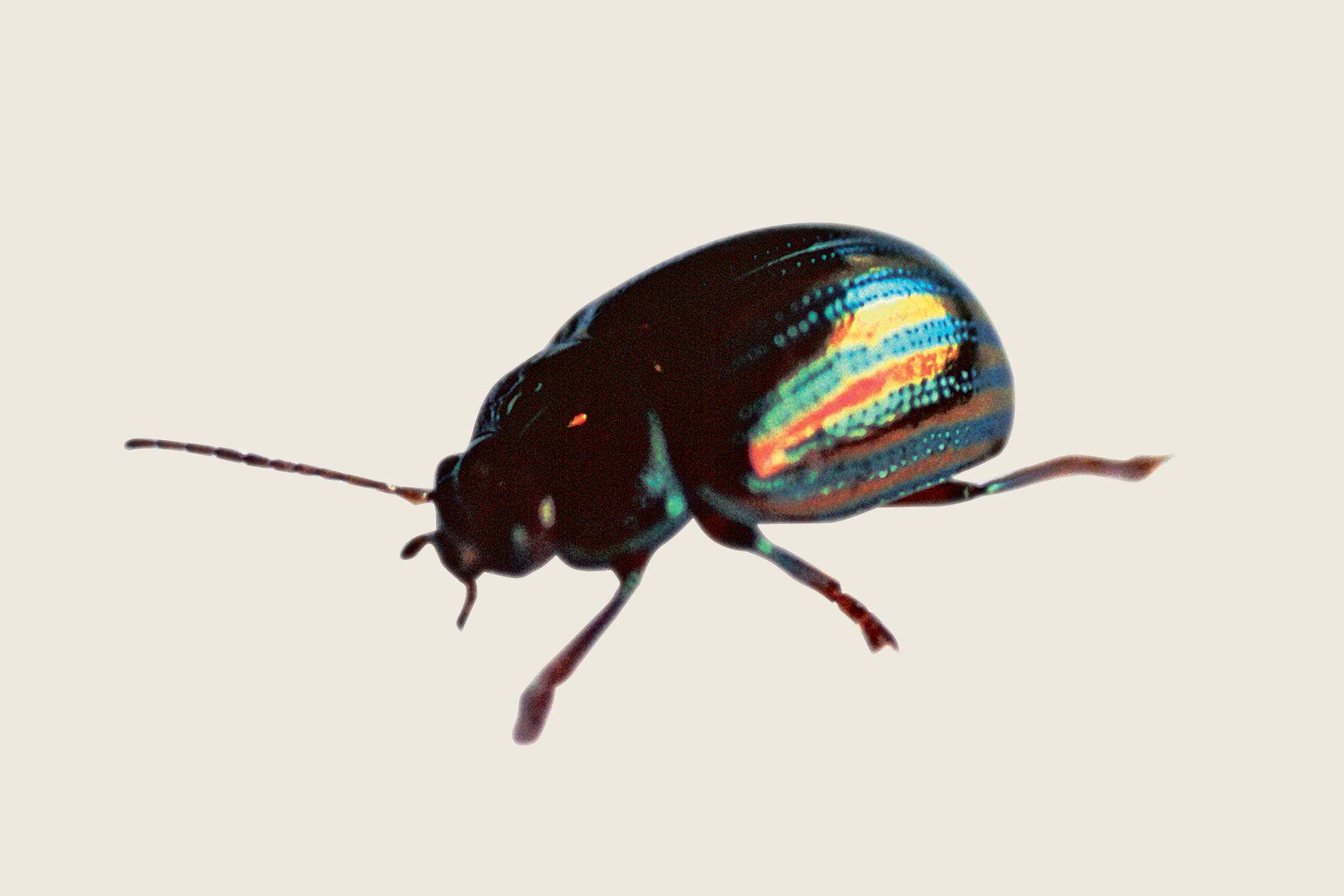 rosemary-beetle-2
