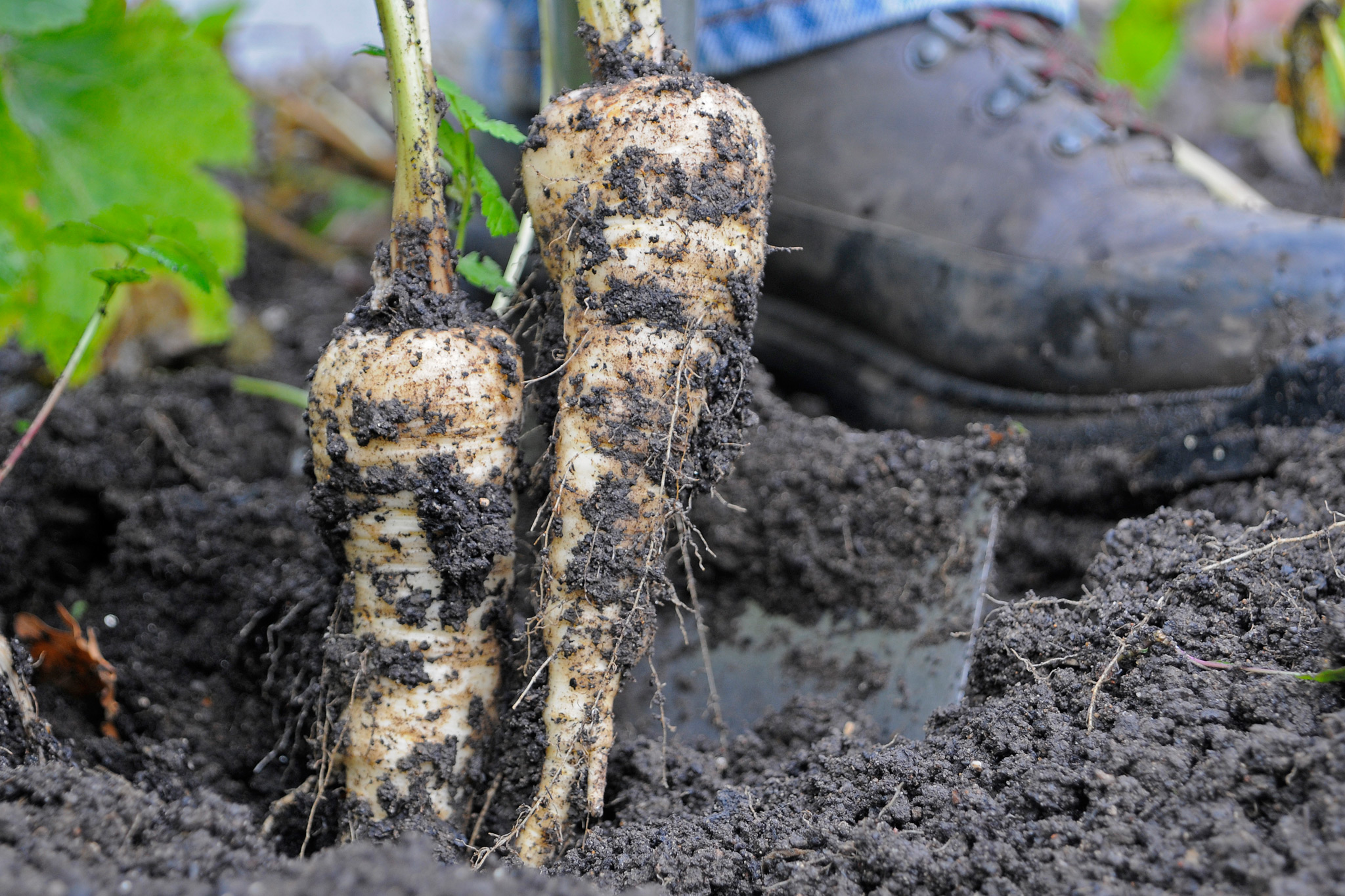 avoid-parsnips-and-celery-2