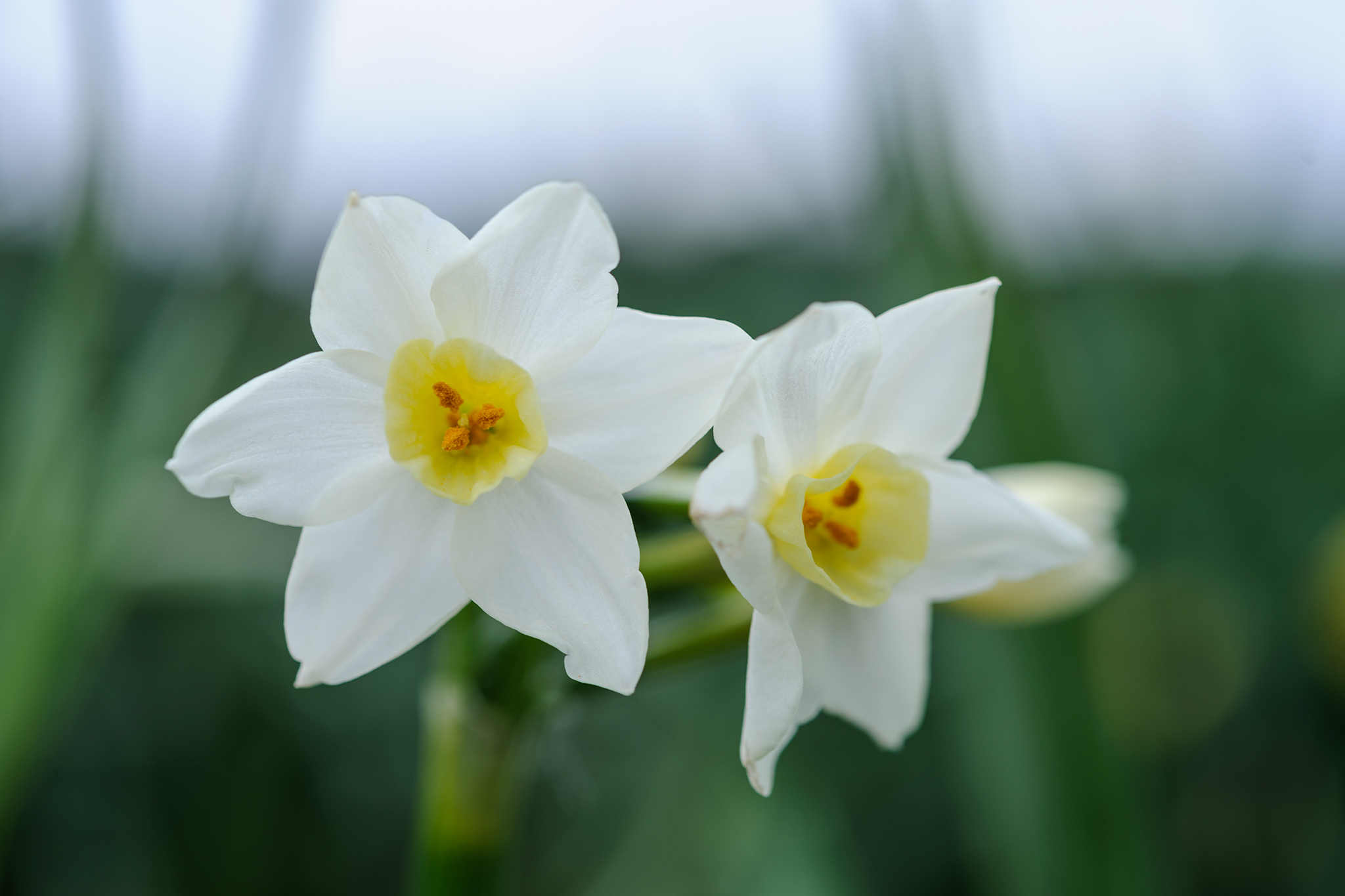 narcissus-scilly-white-3
