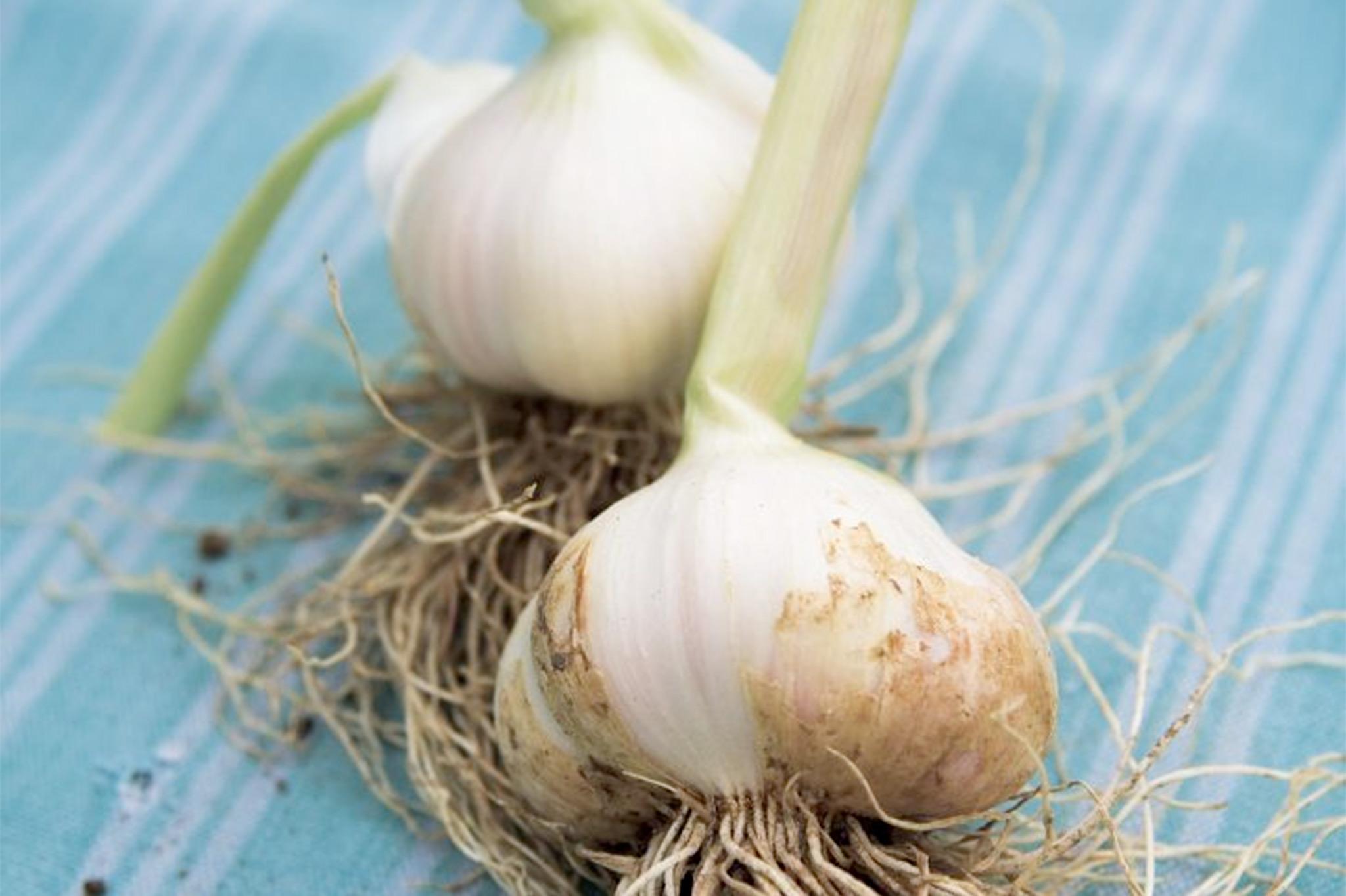 garlic-solent-white-2