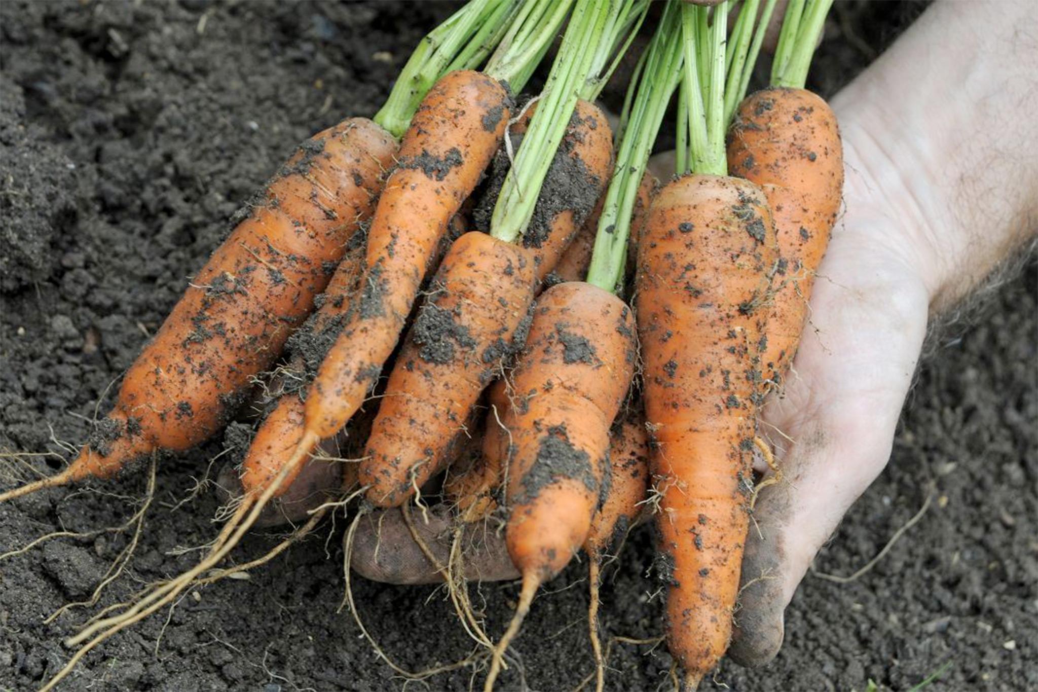 freshly-harvested-carrots-maestro-3
