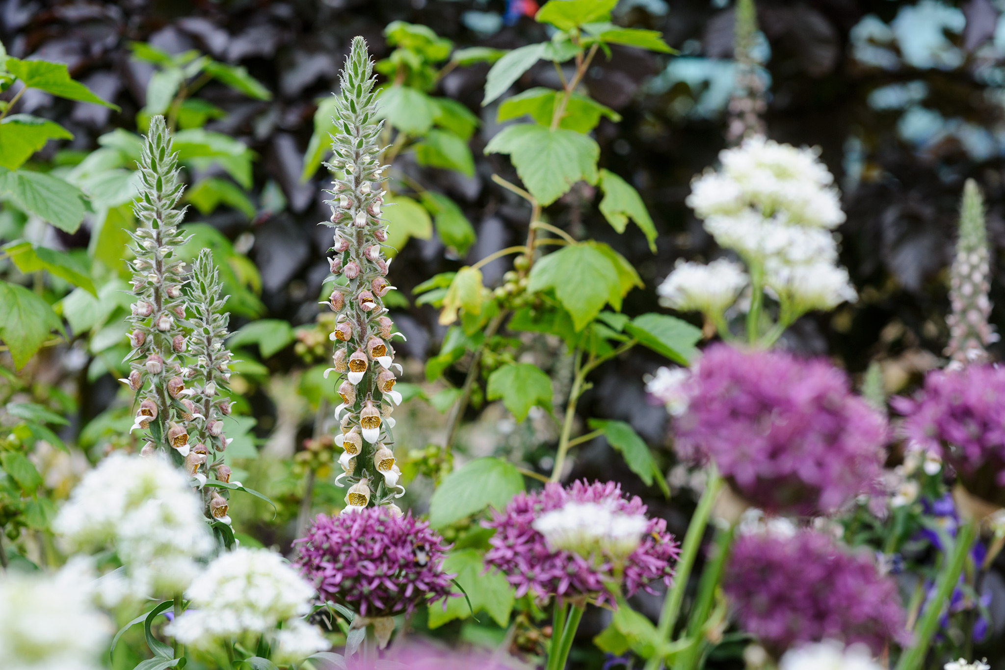 foxgloves-white-valerian-and-alliums-3