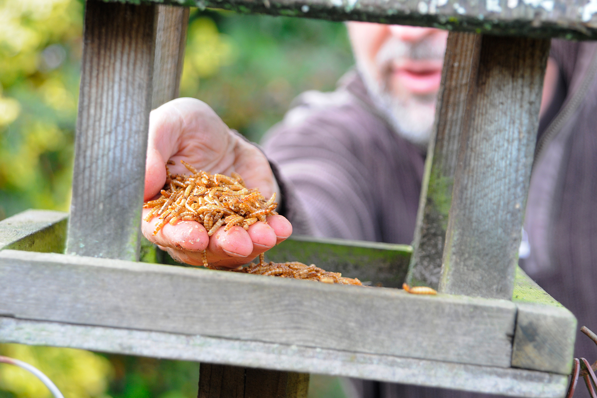 putting-mealworms-on-a-bird-table-6