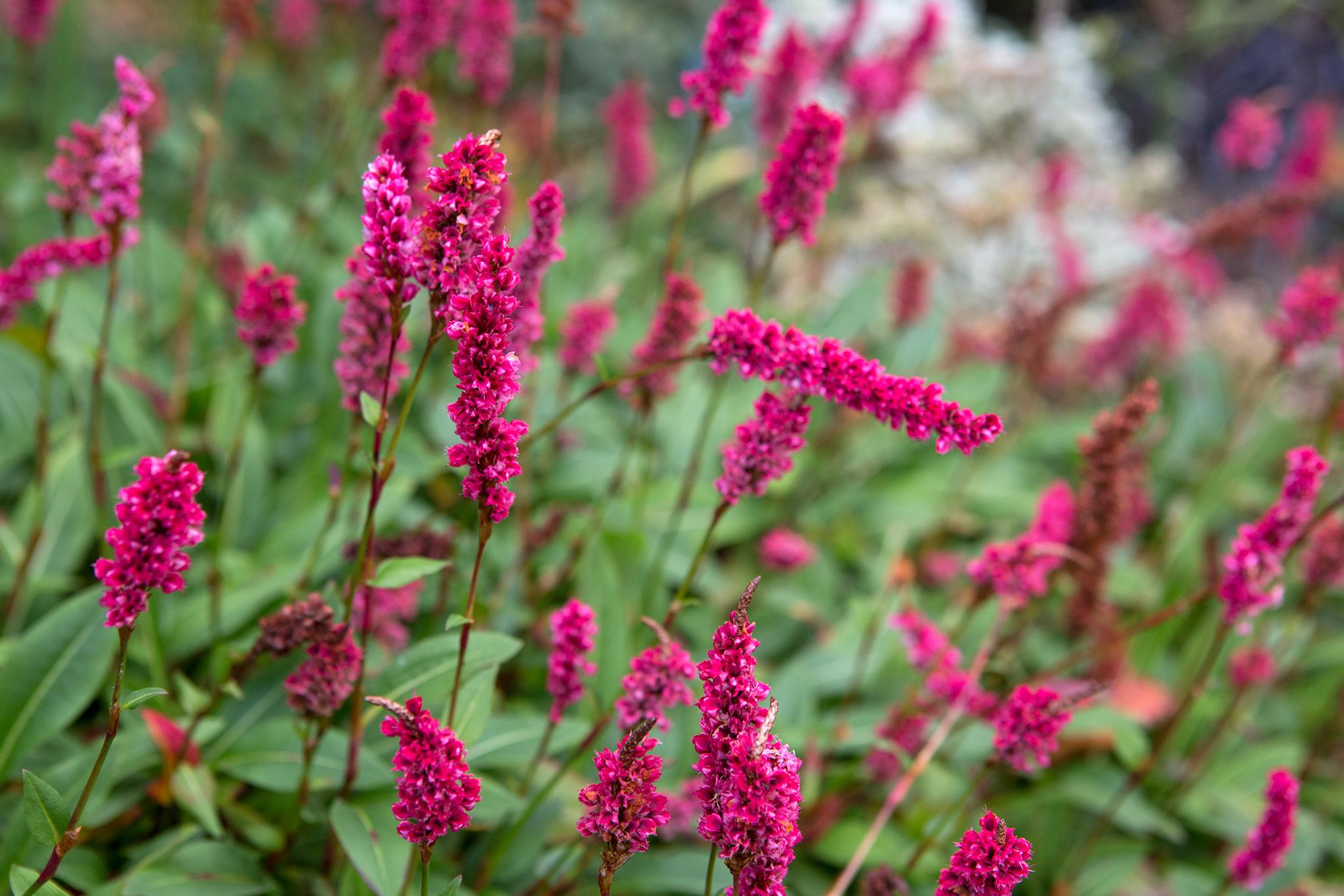 red-pink-persicaria-2