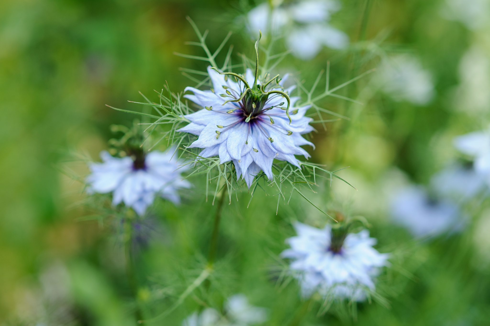 nigella-damascena-4