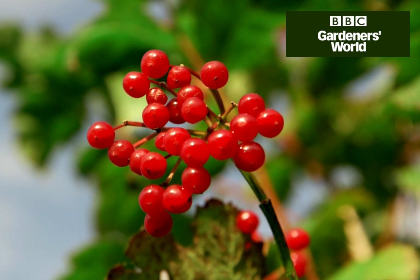 How to collect and sow native berries video