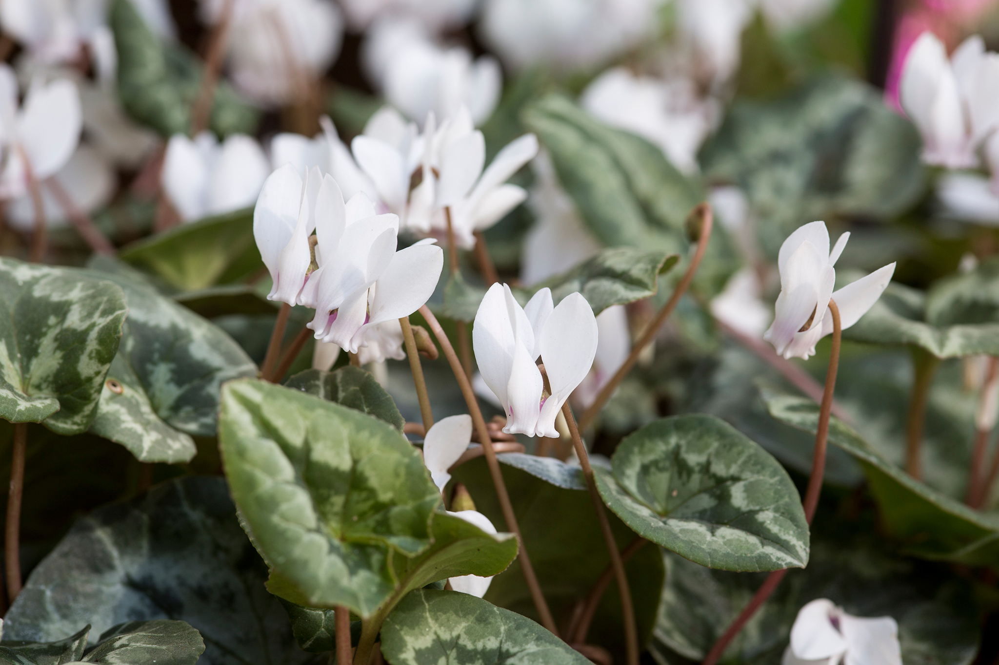 cyclamen-hederifolium-7
