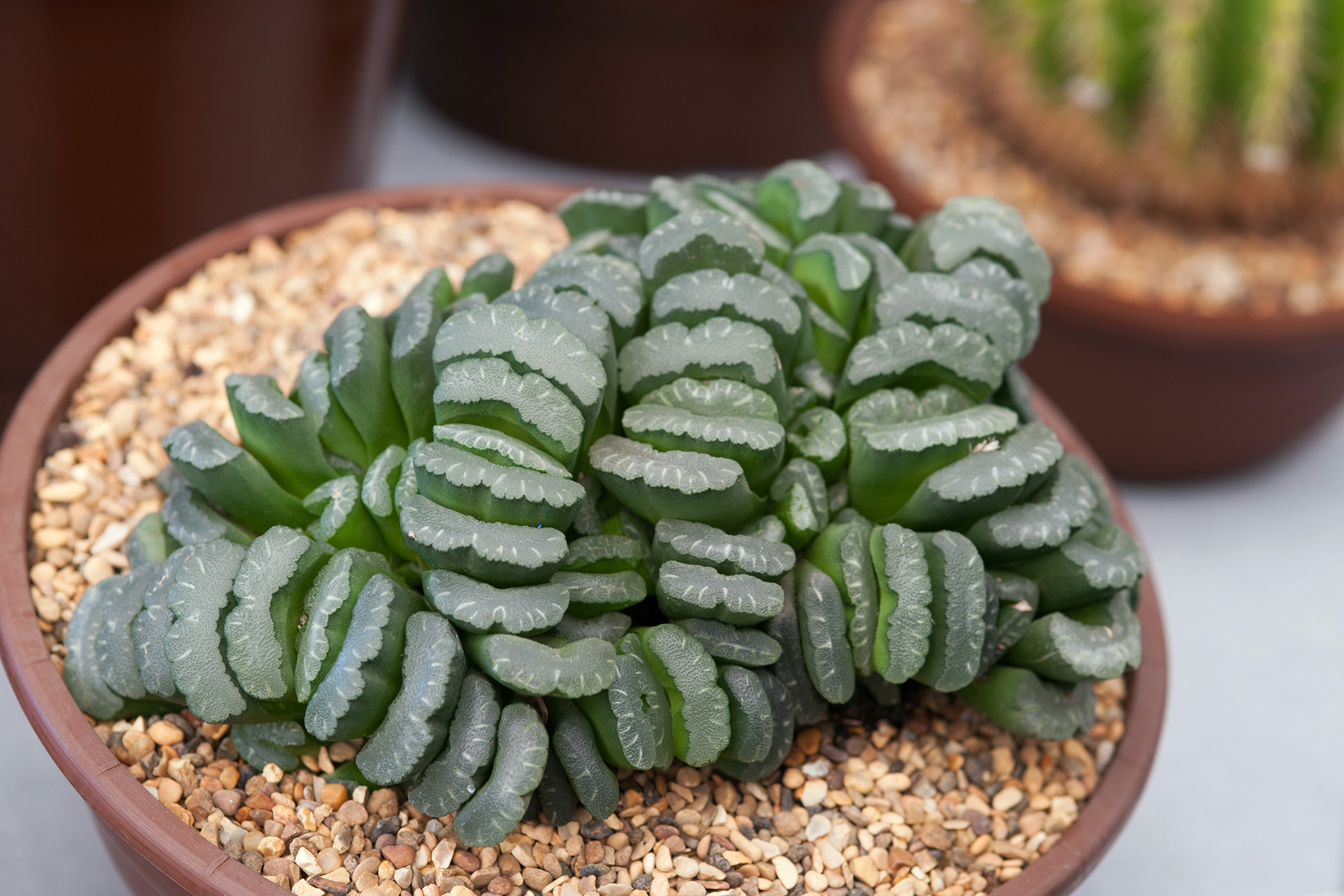 haworthia-truncata-7
