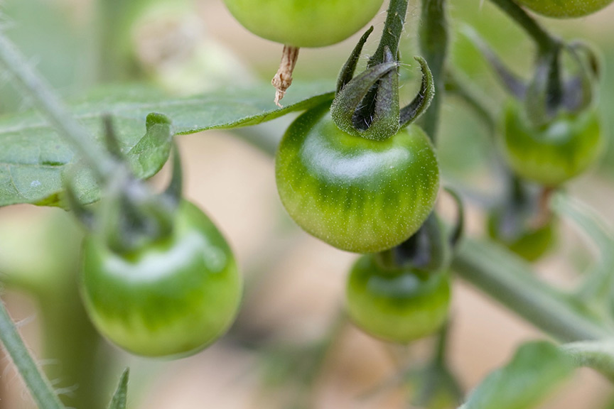 Why have my outdoor tomatoes not ripened