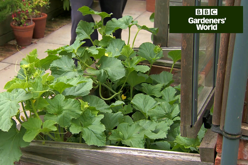Monty Don's outdoor melon trial (part two) video