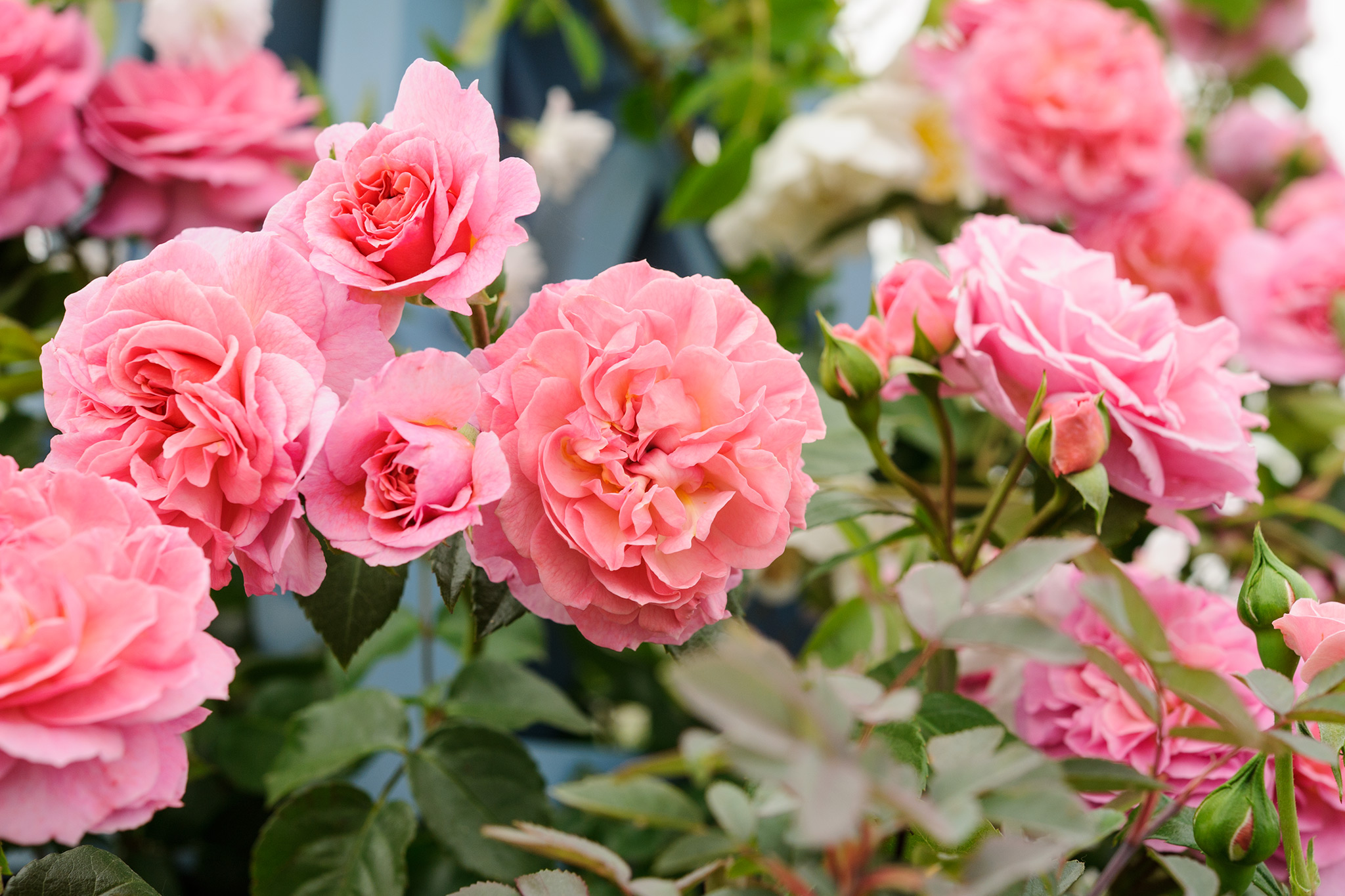 How To Look After Roses In Autumn Gardenersworld Com