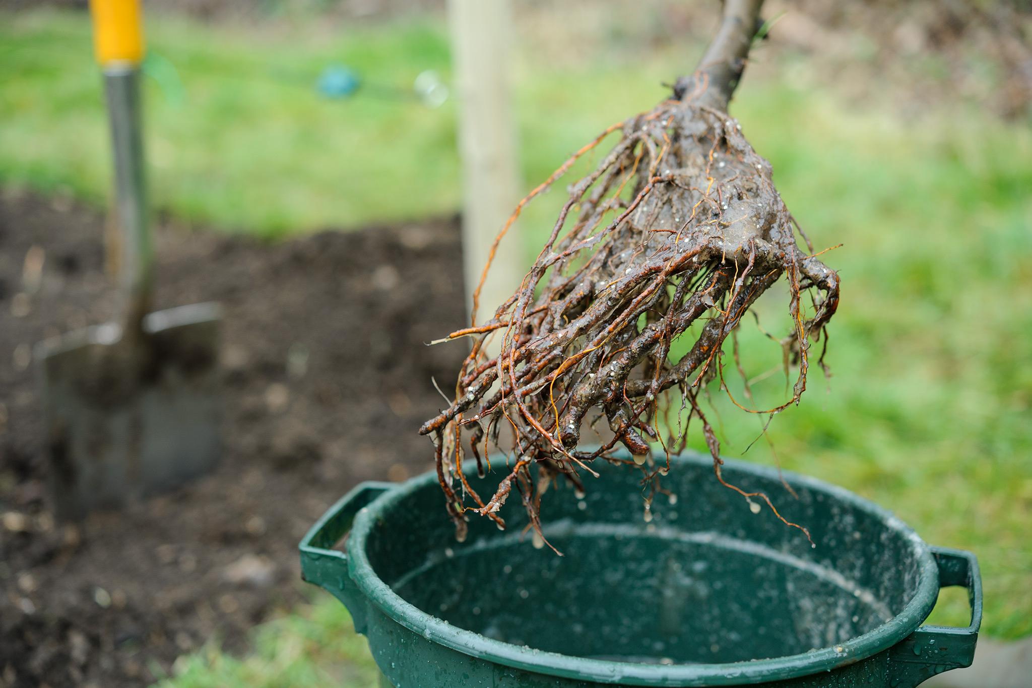 plant-bareroot-plants-2