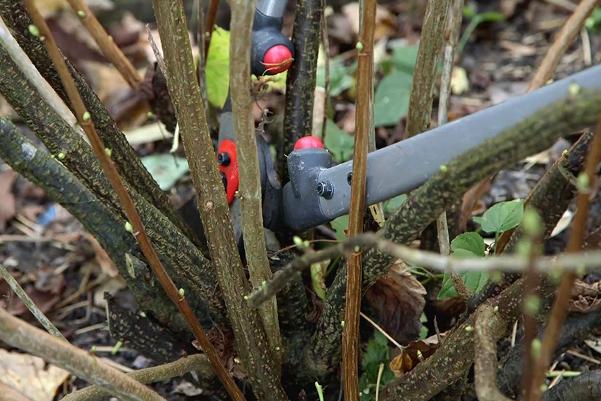Pruning blackcurrants NFG video