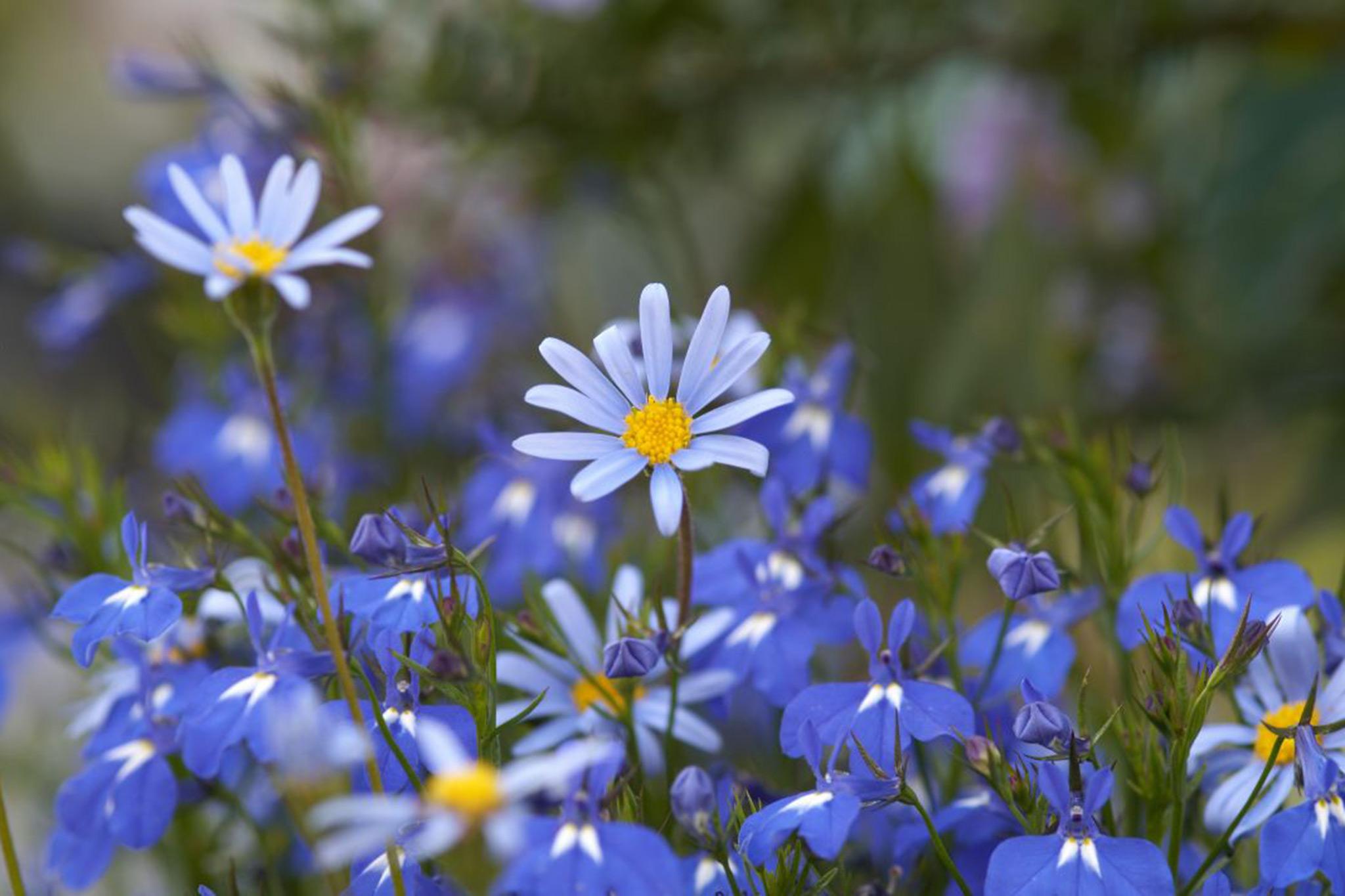 felicia-flowers-2