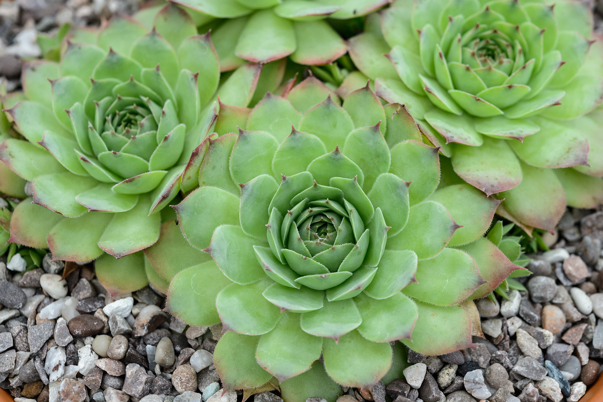 sempervivum-rita-jane-4