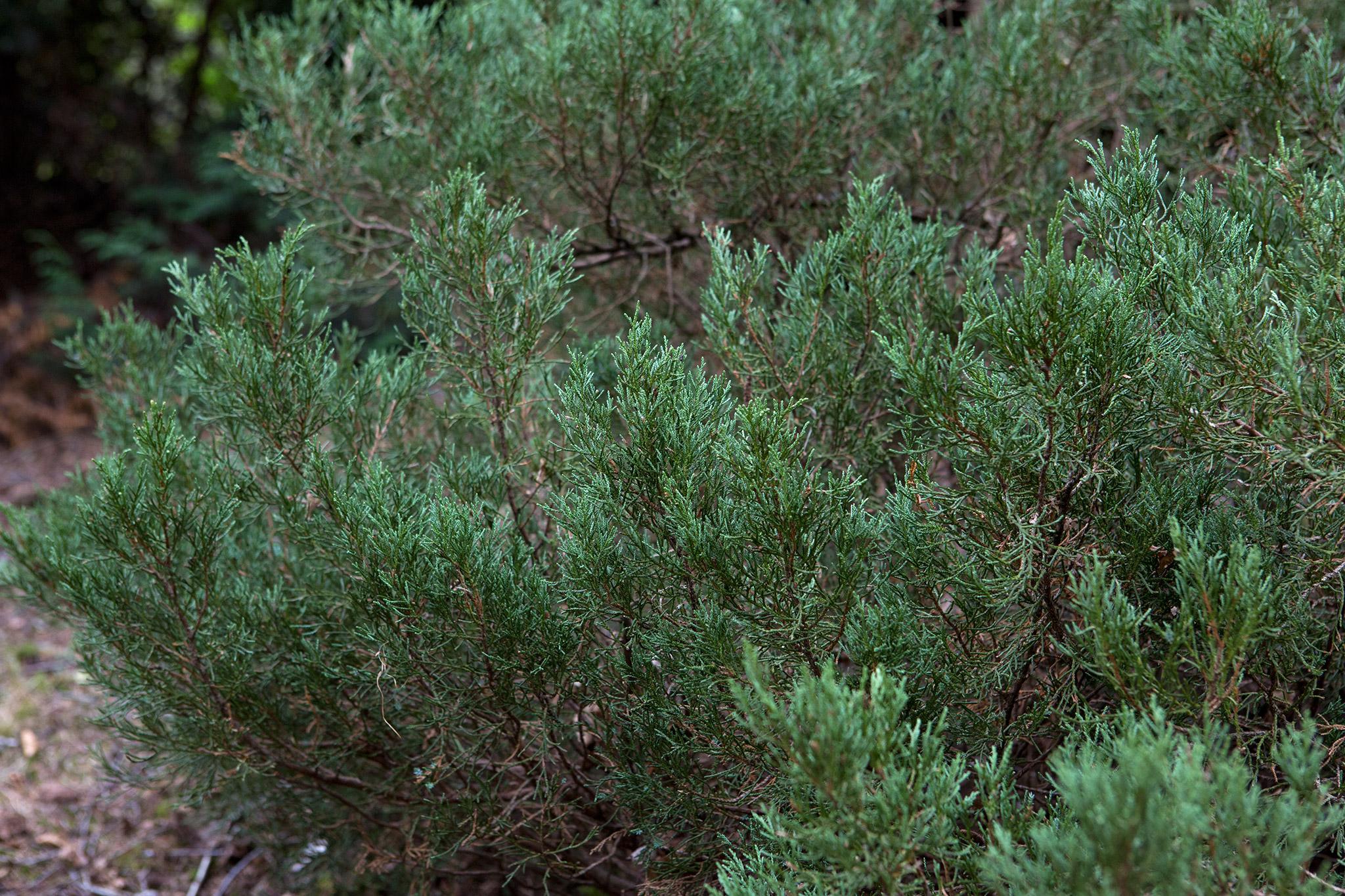 juniperus-squamata-blue-star-2