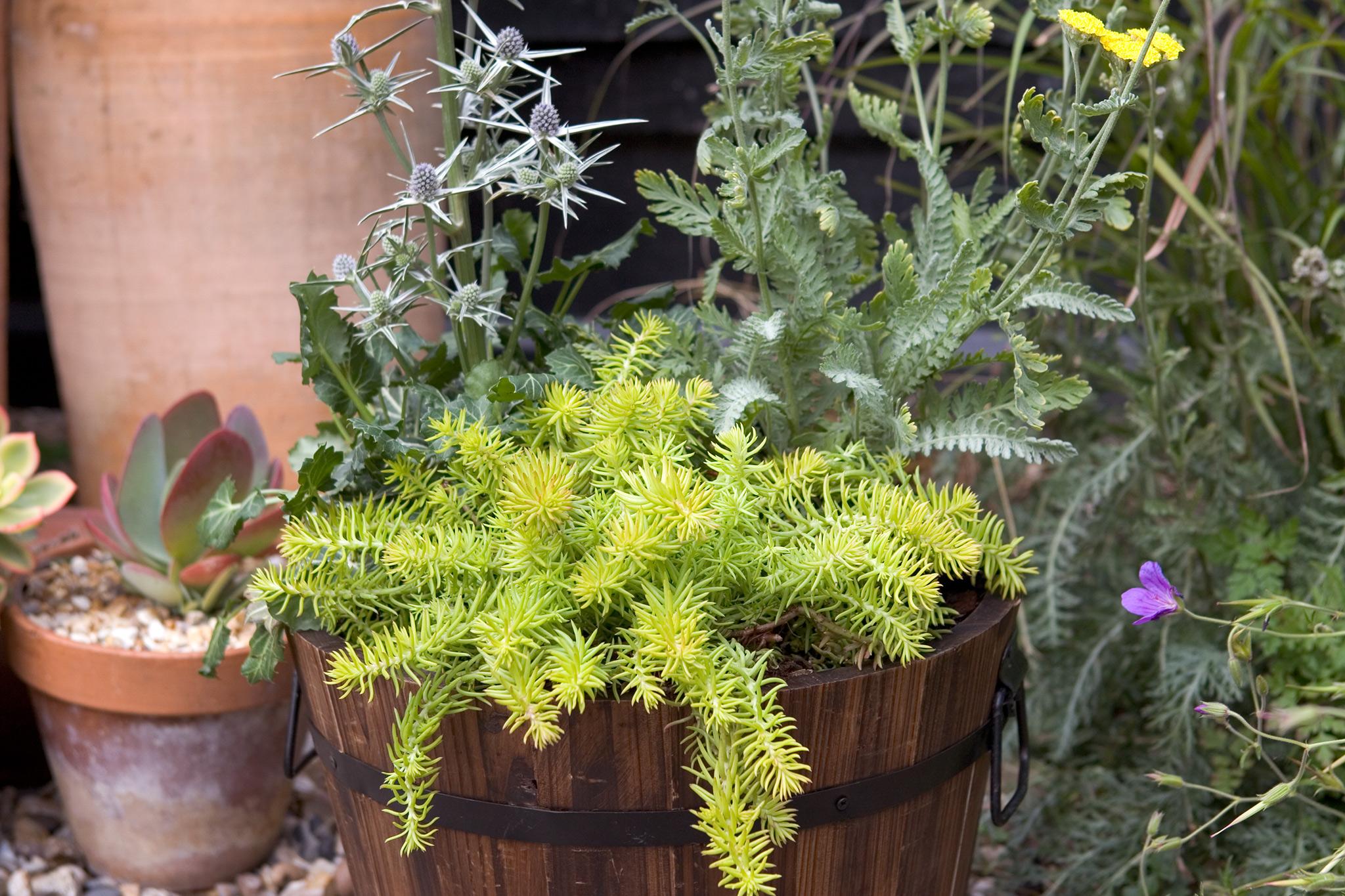 eryngium-achillea-and-sedum-pot-container-display-2