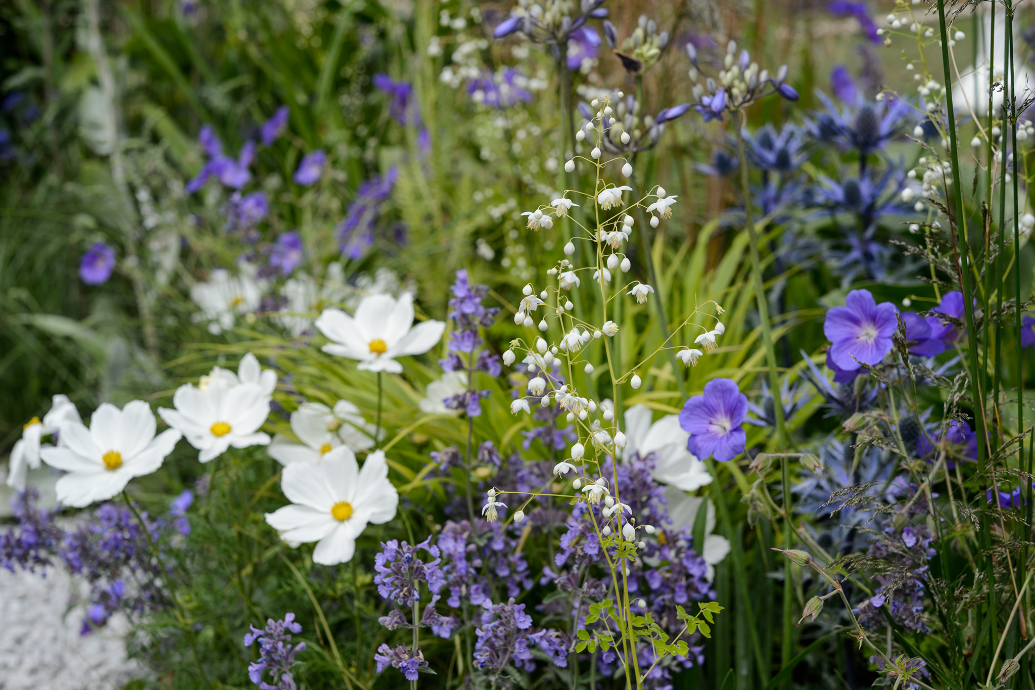 cosmos-with-blue-flowers-3