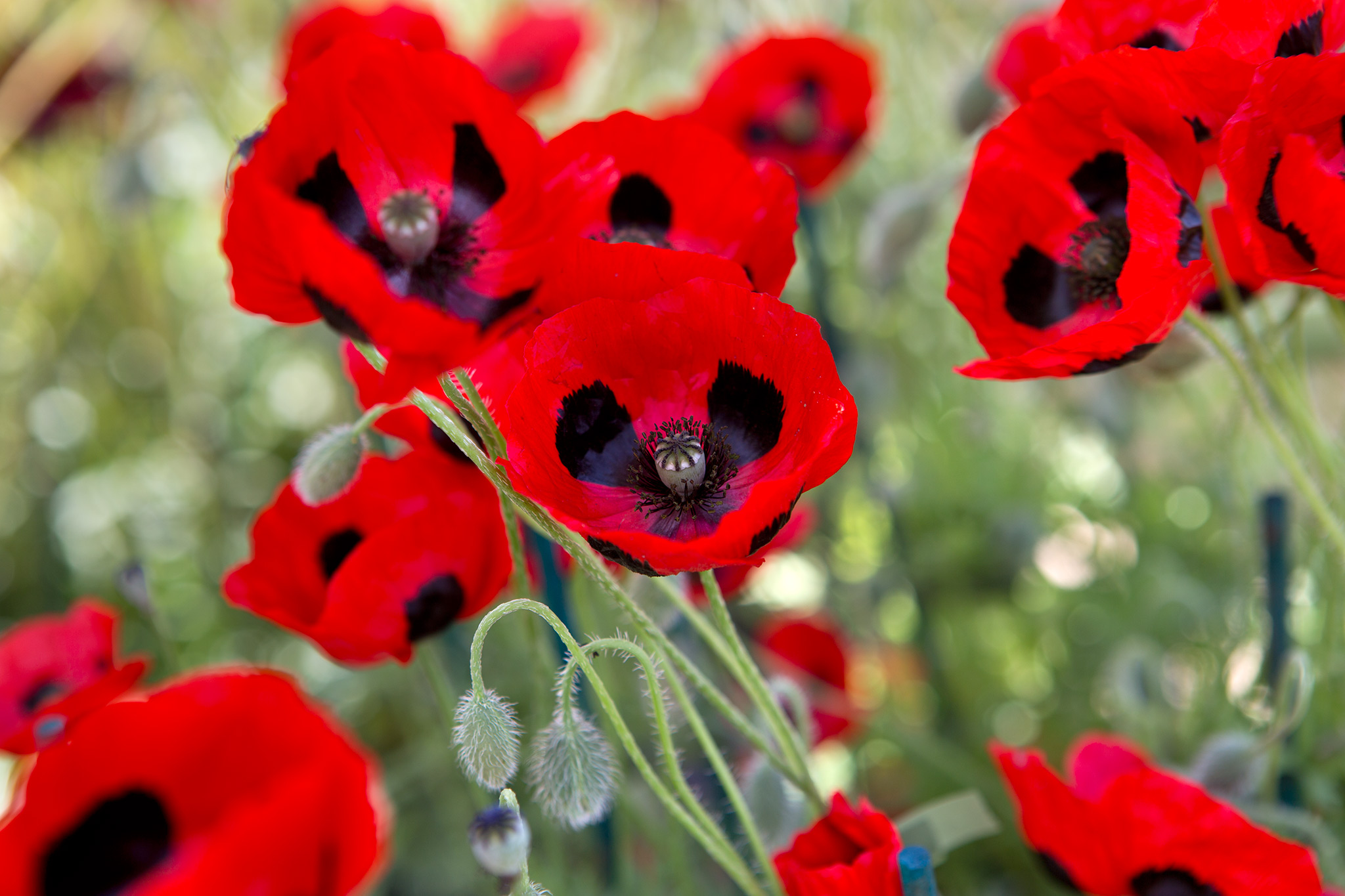 Grow Guide Poppies Gardenersworld