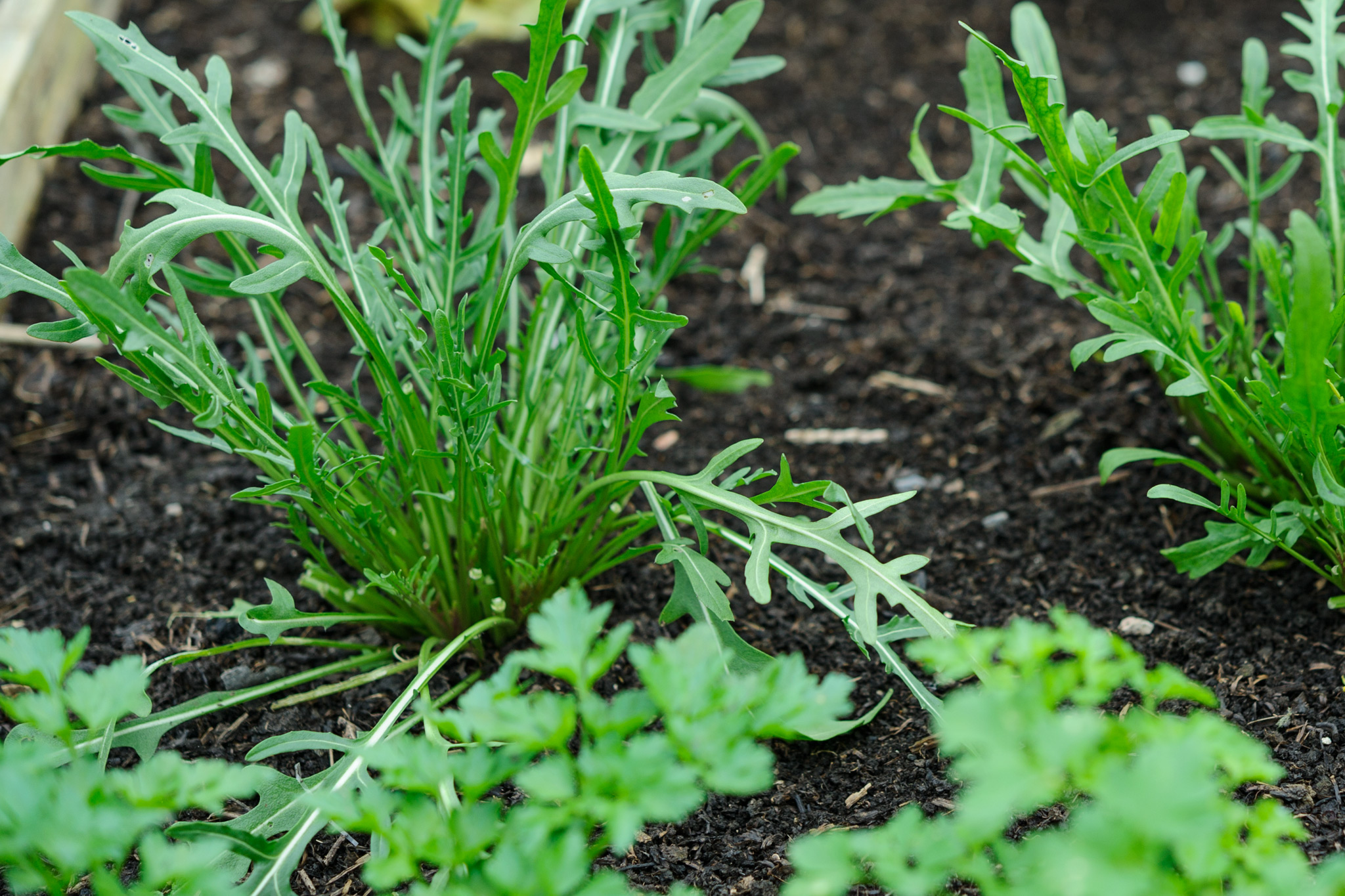 grow-carrots-among-other-crops-2