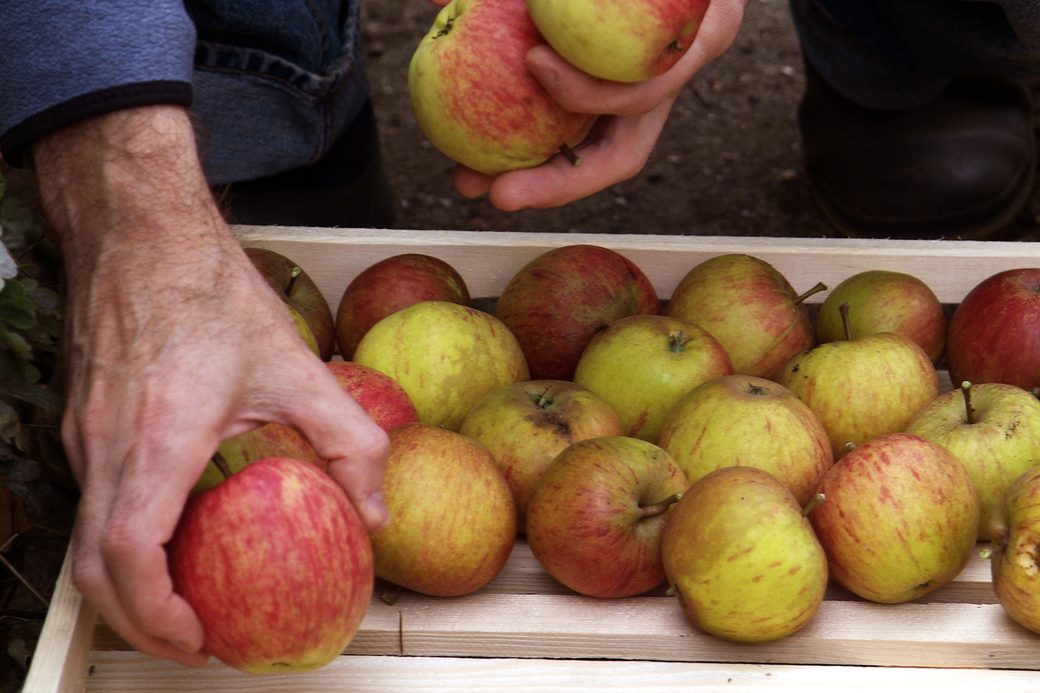 storing-apples-in-an-apple-rack-3