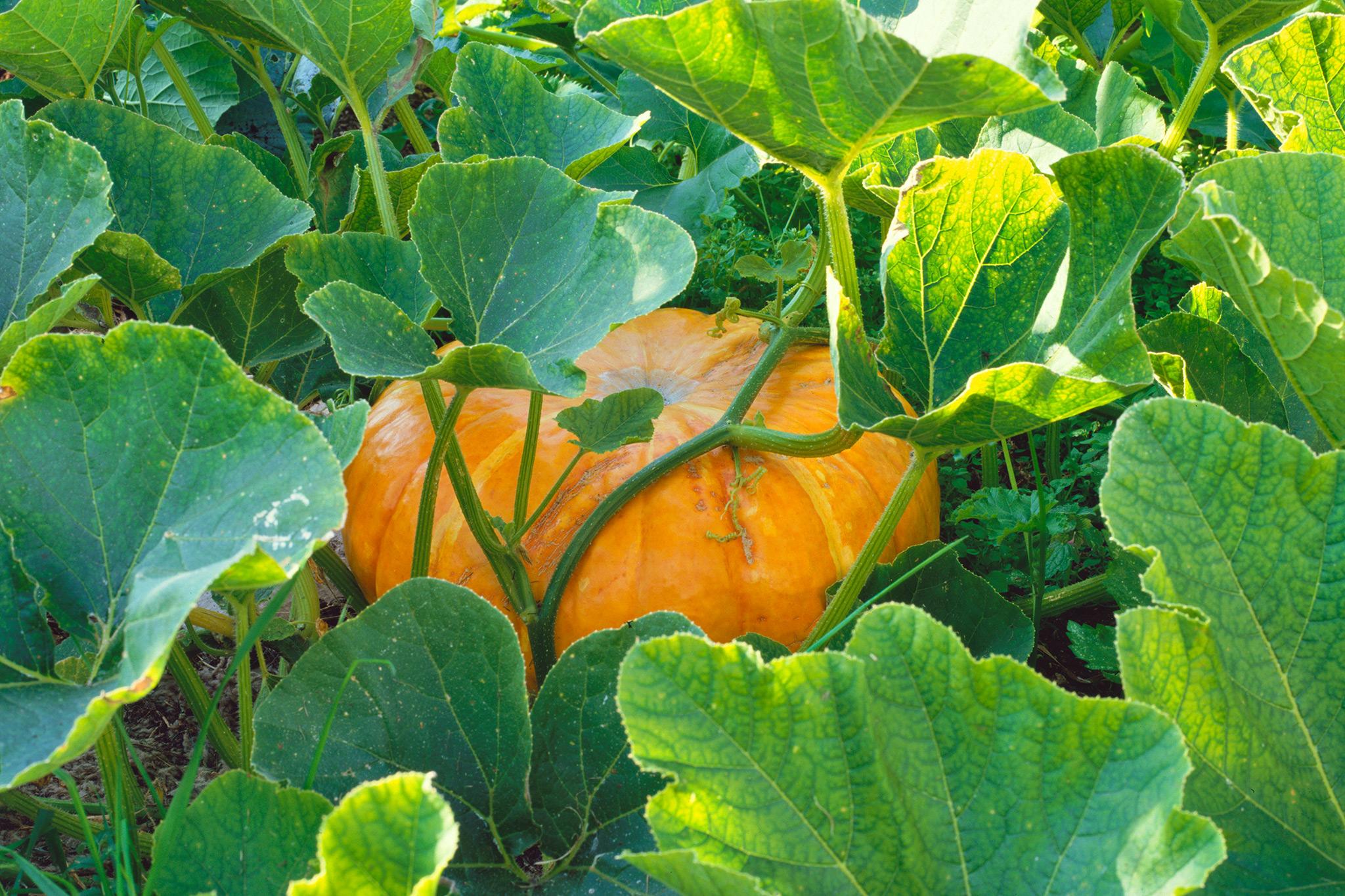 pumpkin-ready-for-harvest-2