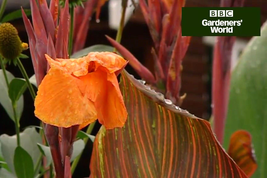 How to grow canna lilies video