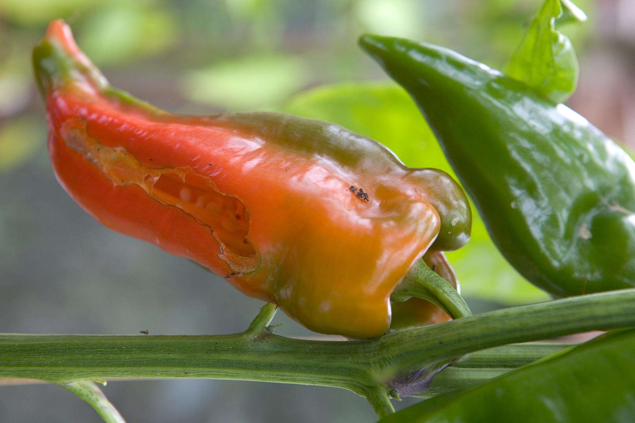 slug-damage-to-pepper-2