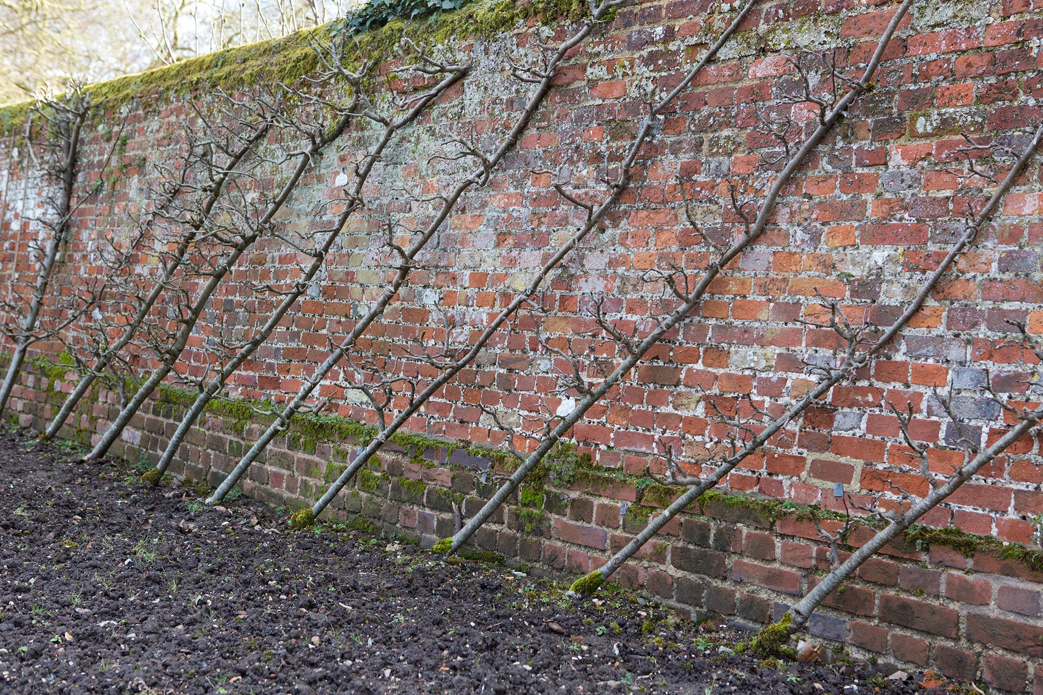 fruit-trees-trained-as-cordons-at-audley-end-house-2