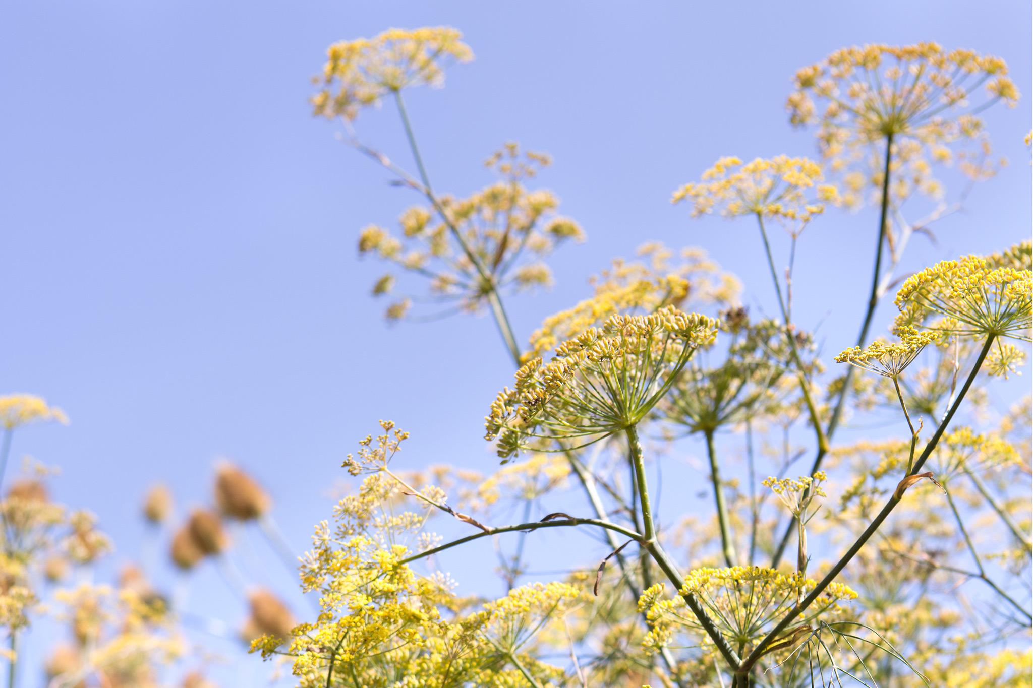 fennel-flowers-7