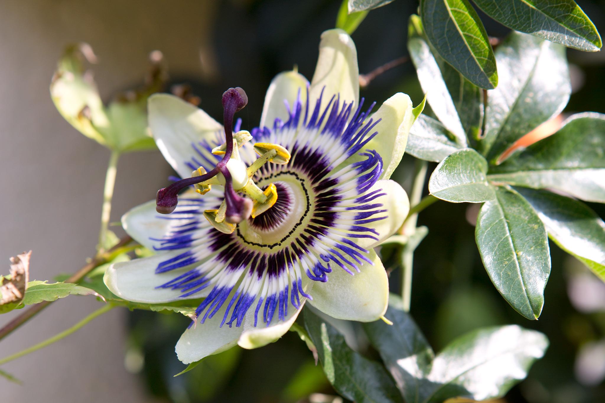 passion-flower-12