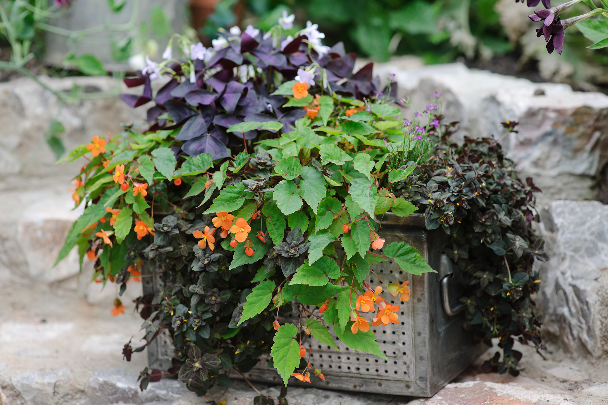Pot for shade planted with lysimachia, oxalis and begonia
