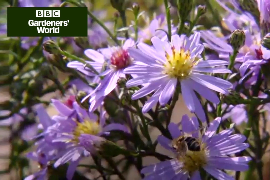 How to plant autumn asters video