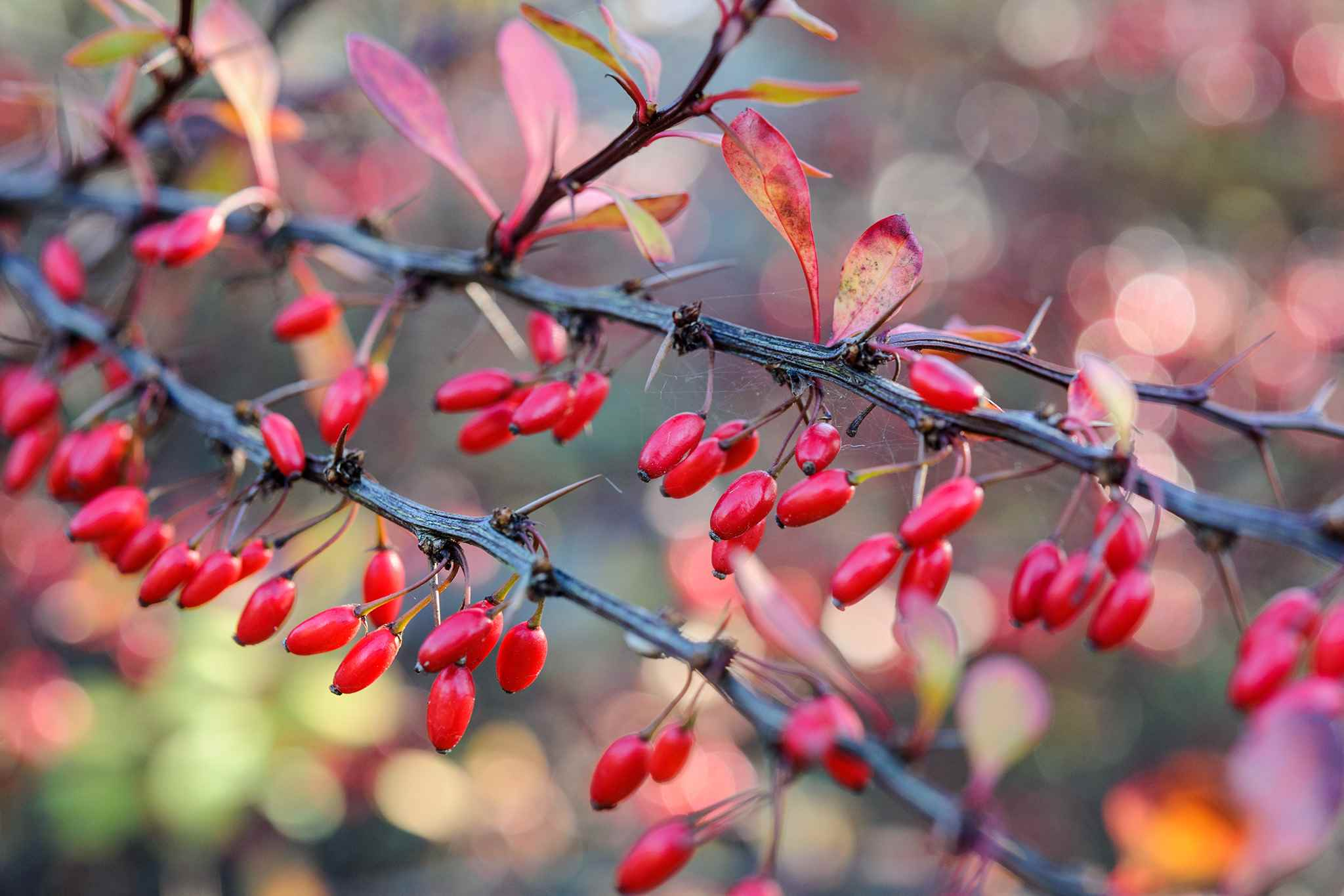 berberis-berries-4