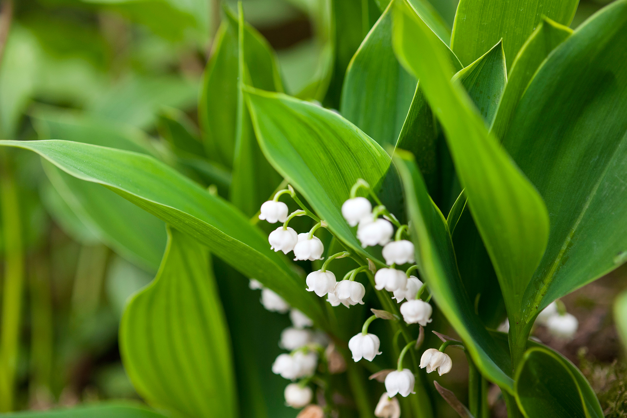lily-of-the-valley-7