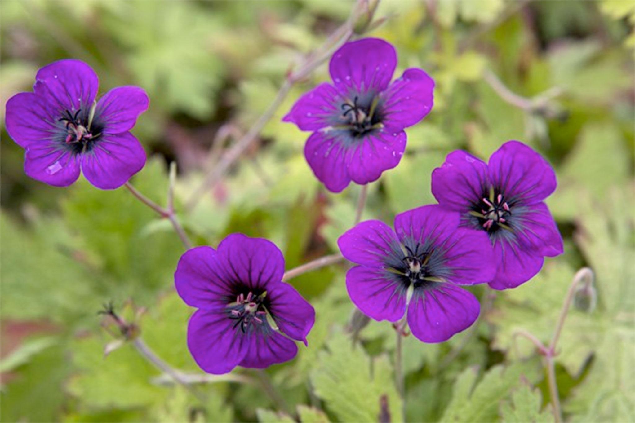 geranium-ann-folkard-4