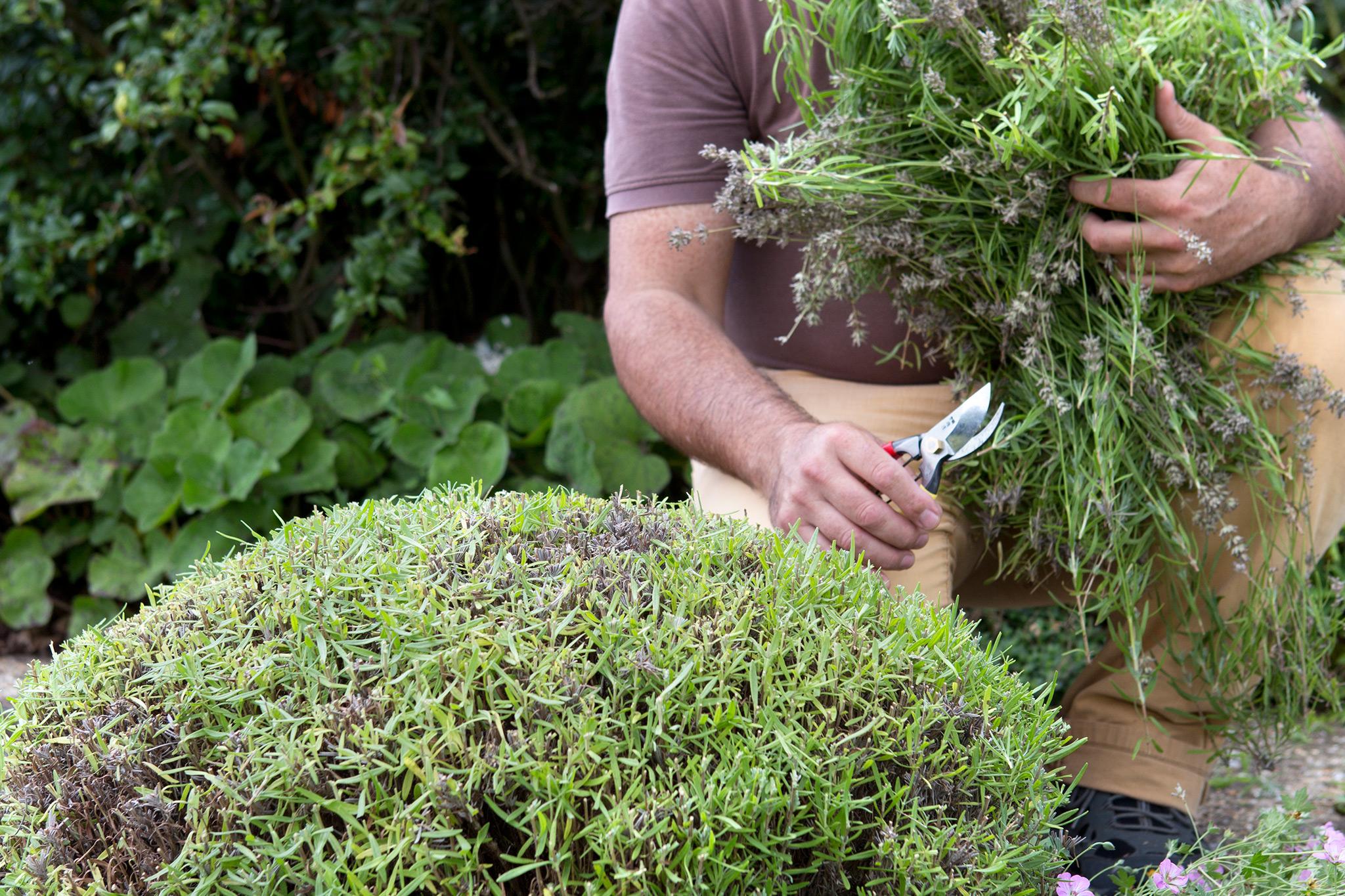 pruning-back-lavender-3