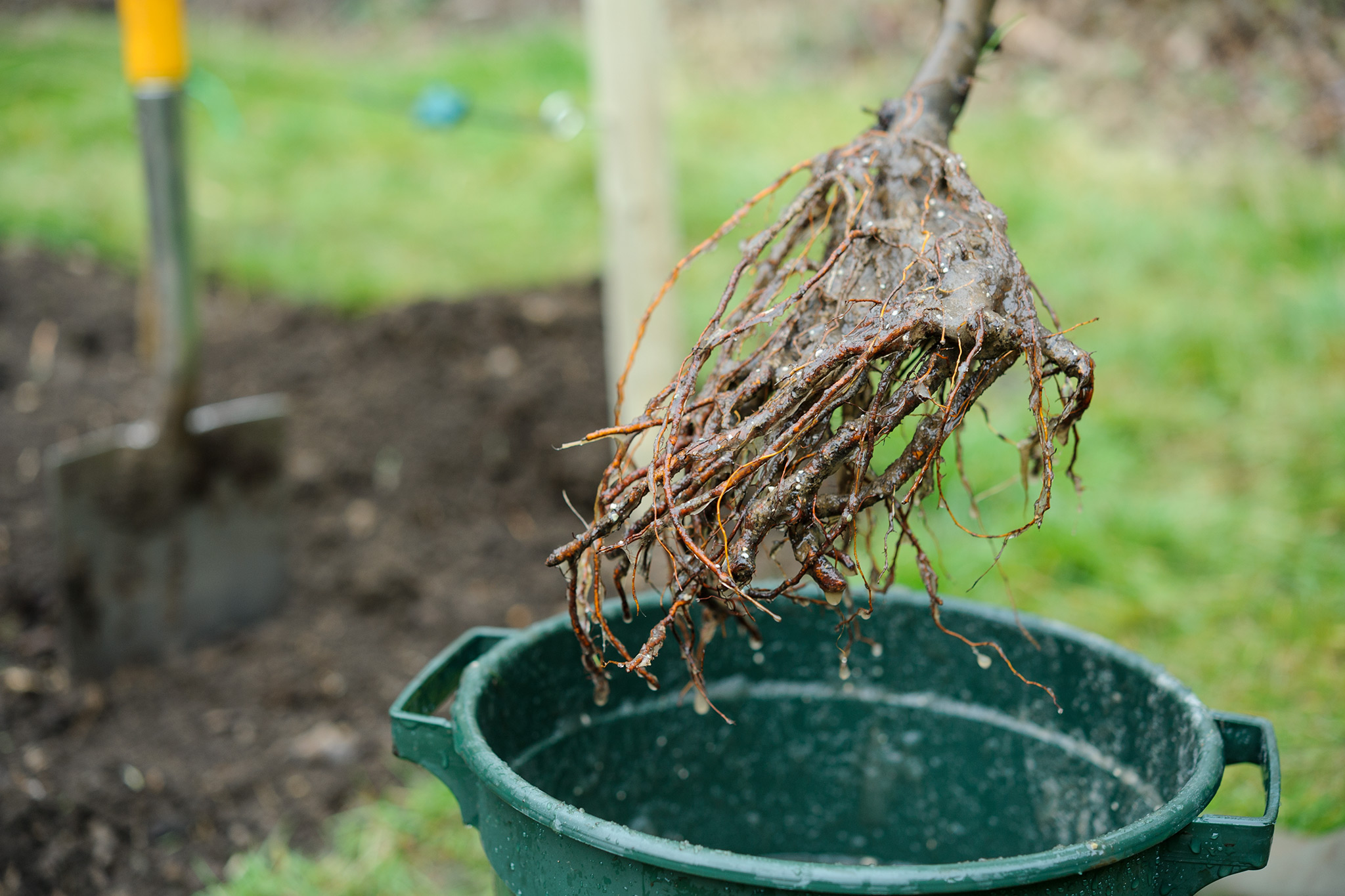 bare-root-apple-tree-3