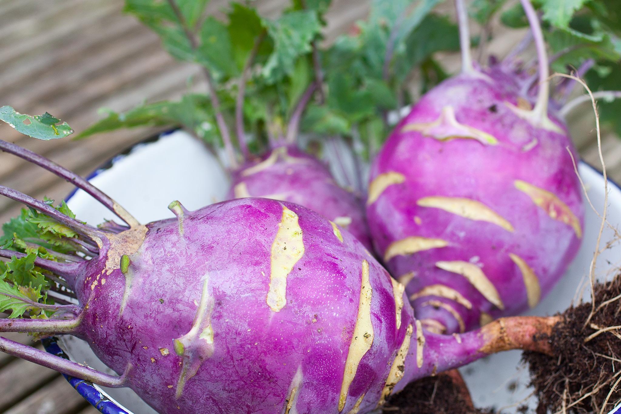 freshly-harvested-kohlrabi-2