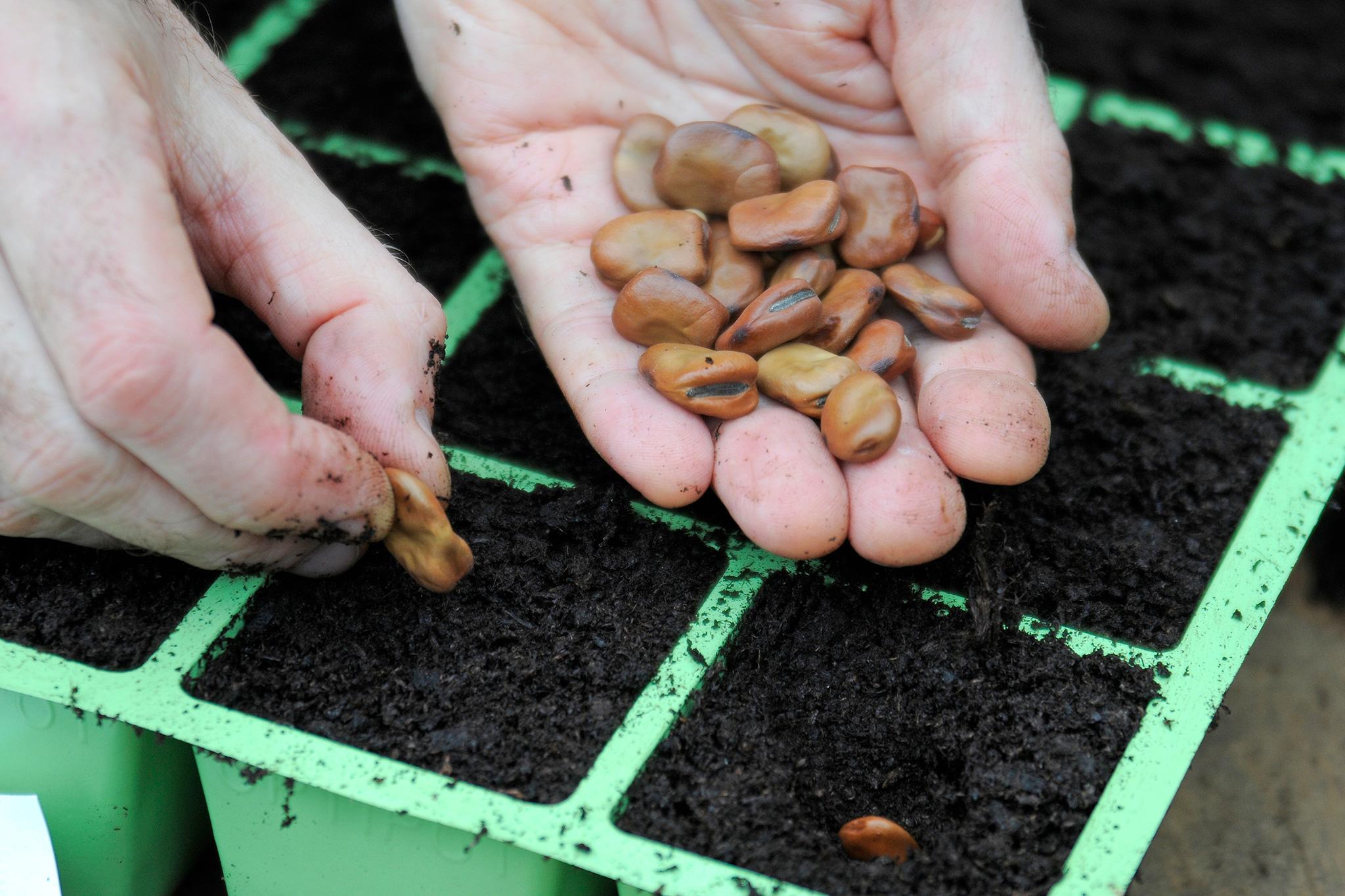 sowing-broad-bean-seeds-2