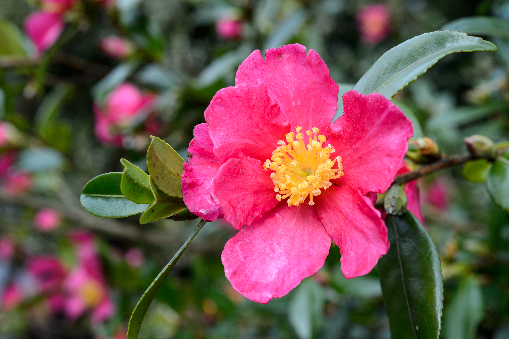camellia-crimson-king-4