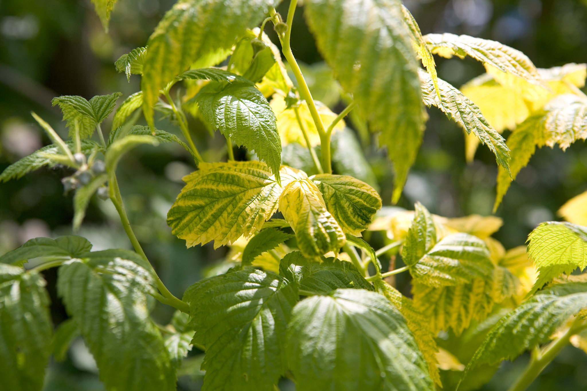 damage-to-leaves-lack-of-nutrition-2