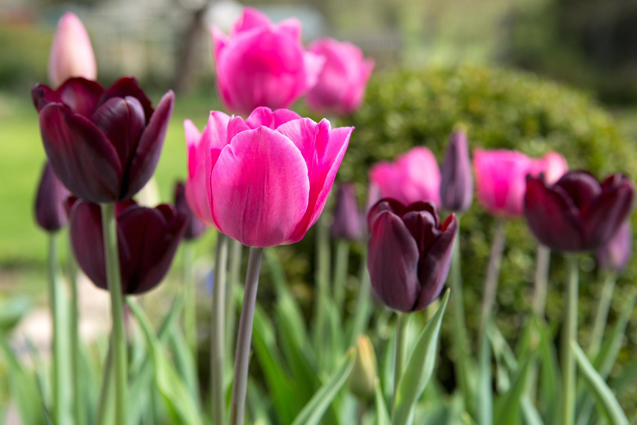 tulipa-don-quichotte-2