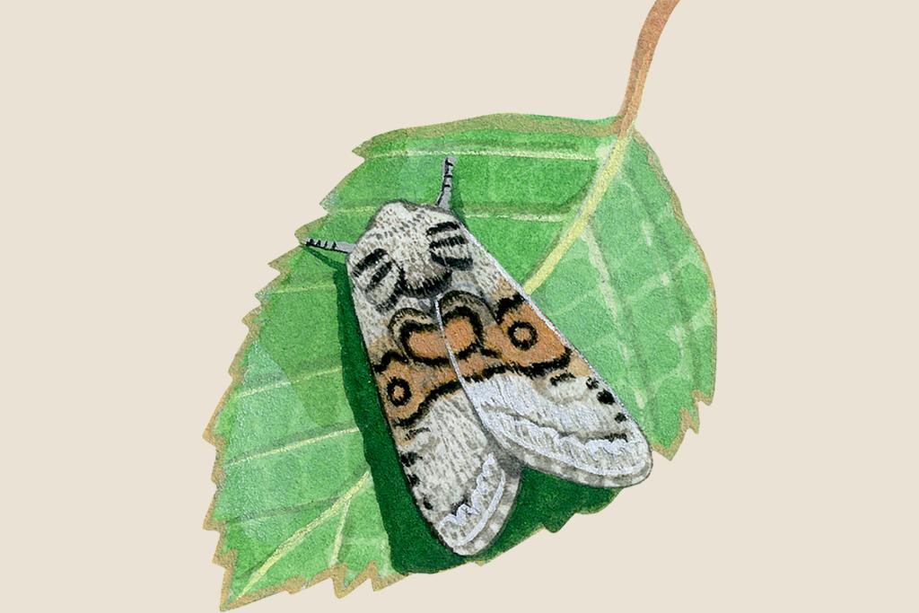 nut-tree-tussock-colocasia-coryli-3